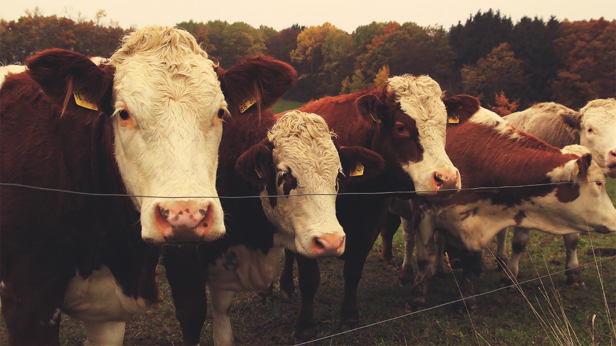 Nature autumn cows animals golden herbst