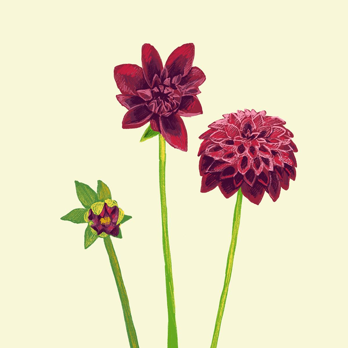 botanical illustration flower drawing ILLUSTRATION  spot illustration