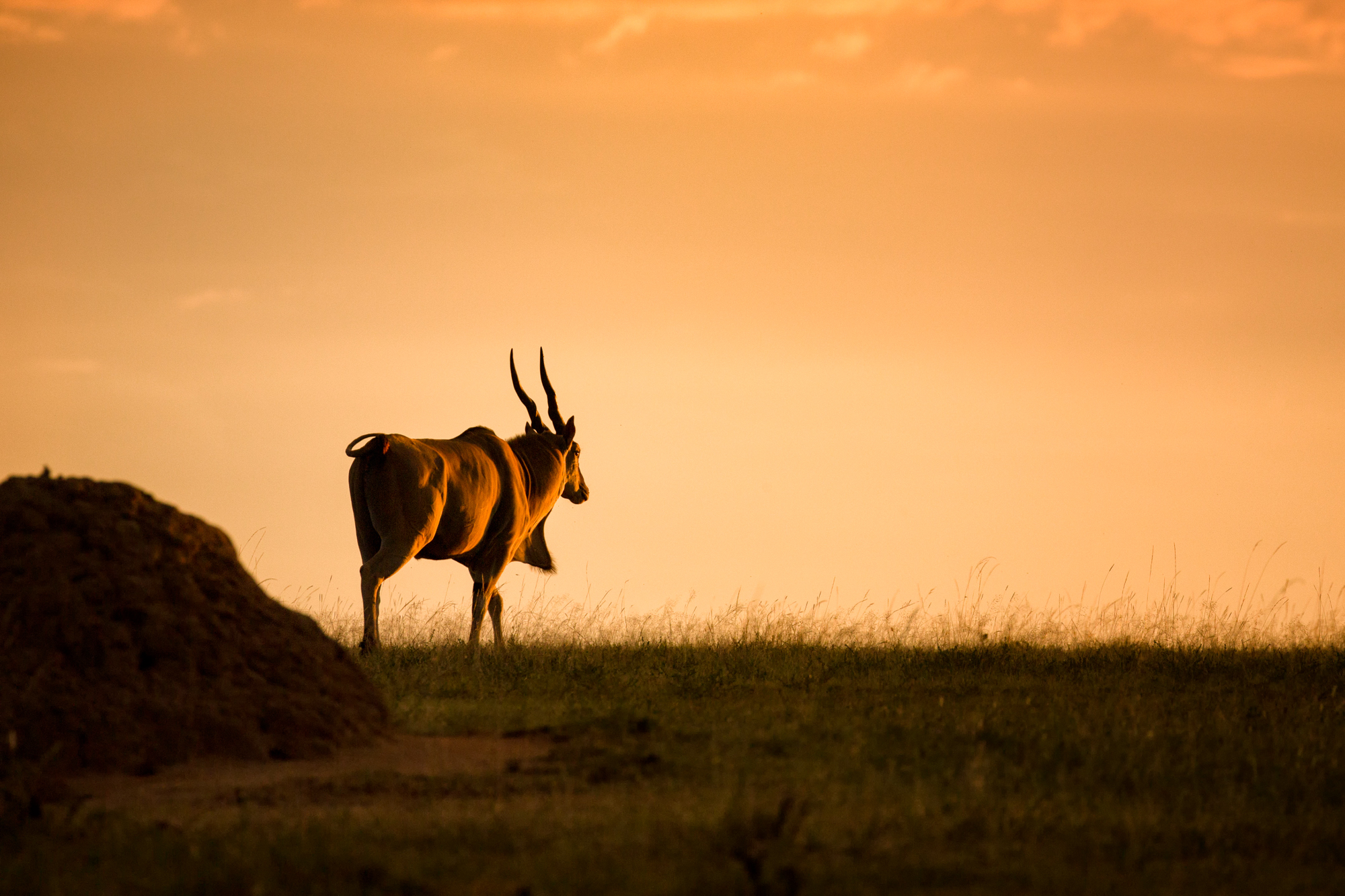 An Eland standing on the horizon at dusk.