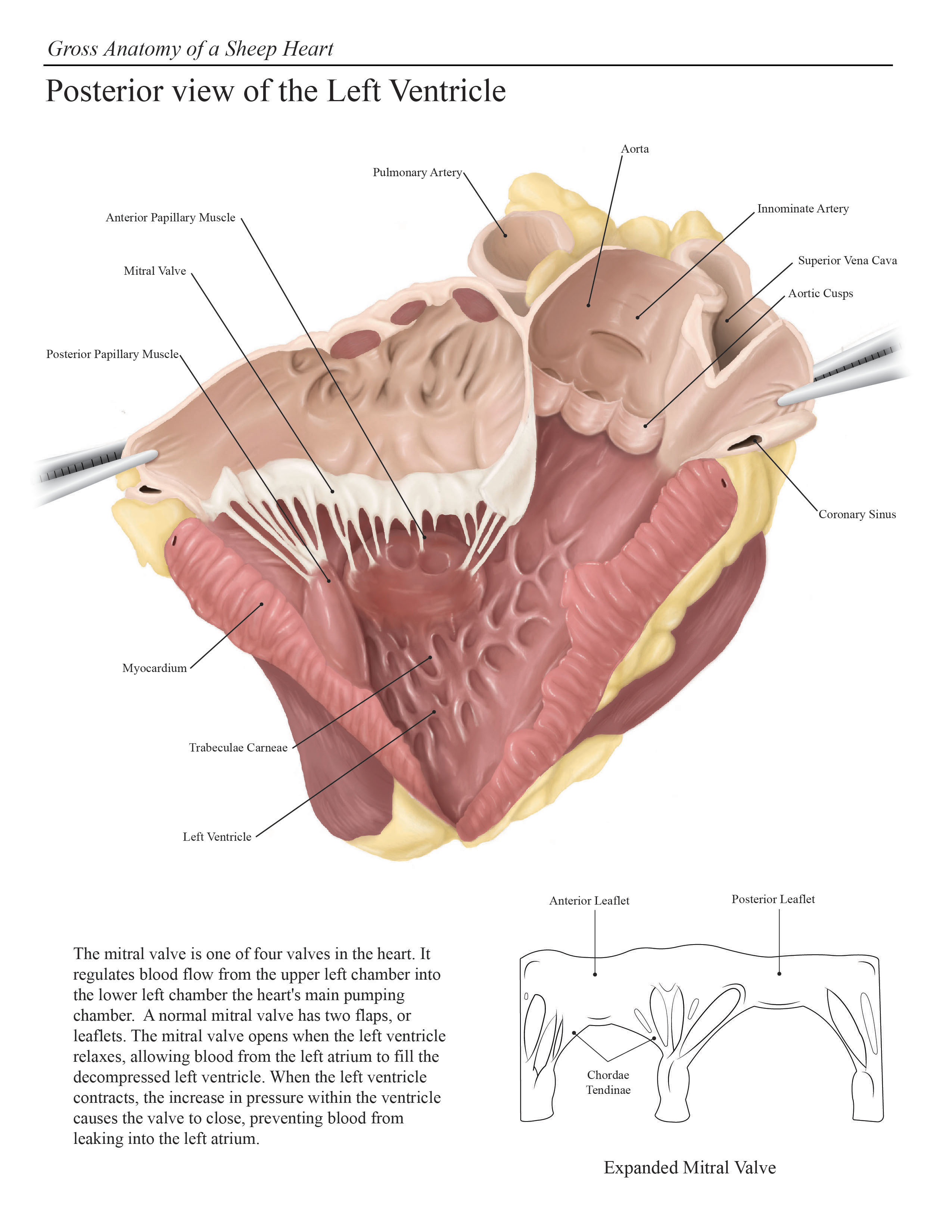 Sheep Heart Dissection on Behance