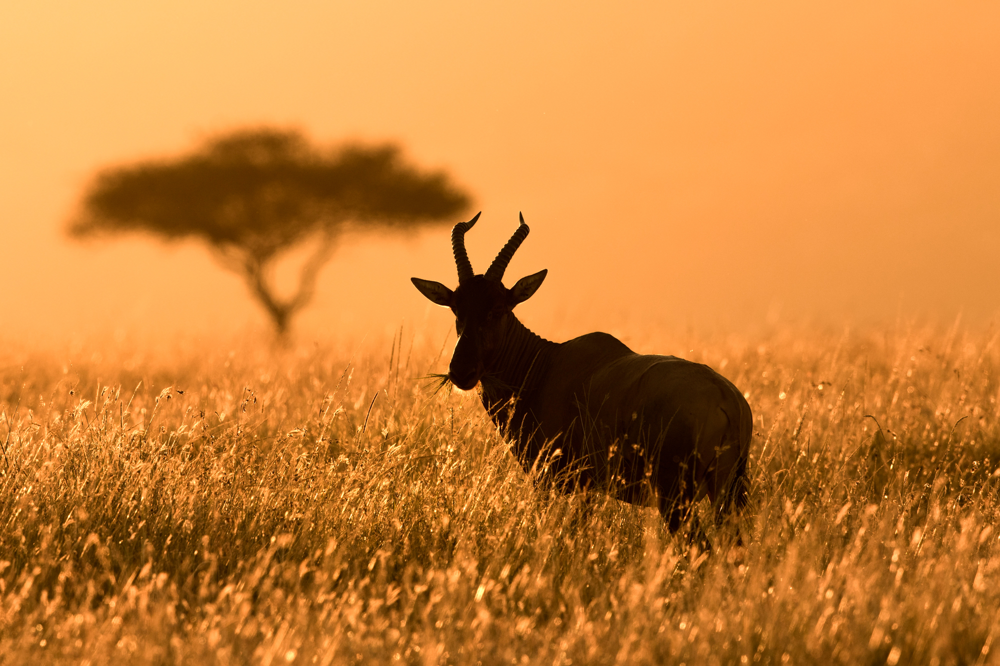 A topi grazing in the grass during the last light of the day.