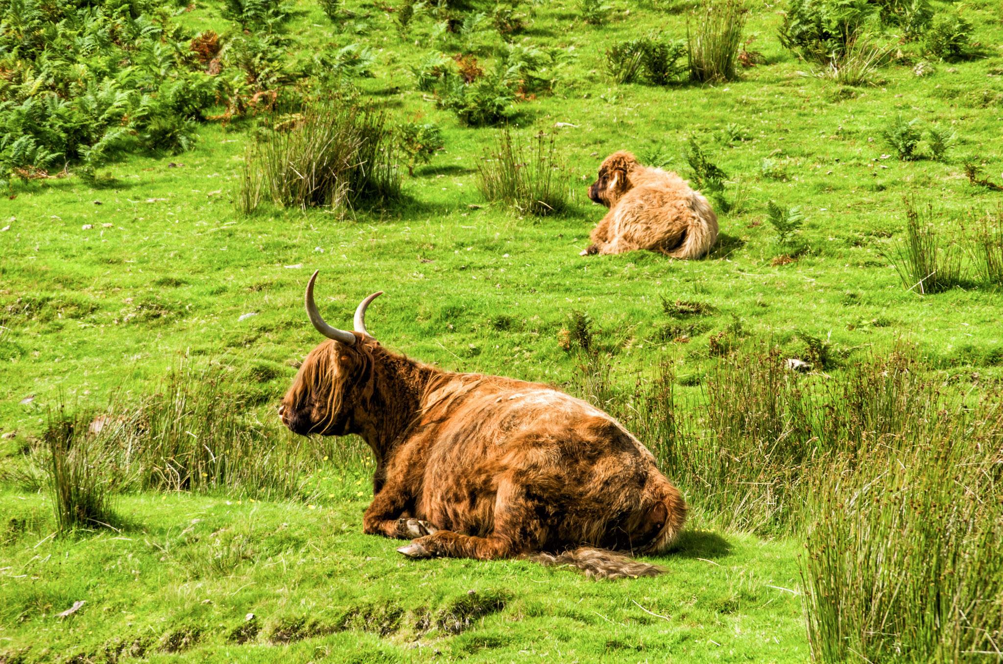 Highland Cows, Lake District, England