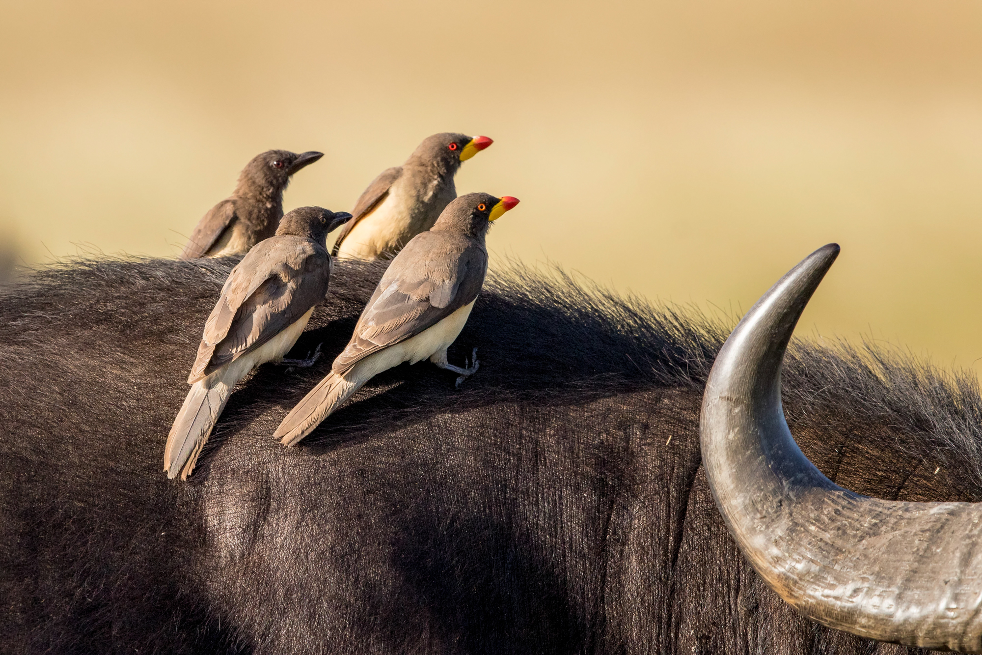 Male and female Red Oxpeckers sitting on the back of a Cape Buffalo