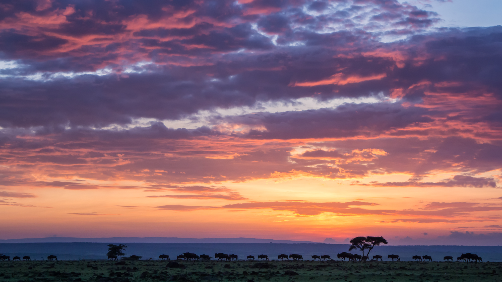 Wildebeest walking across a typical dawn scene in the Maasai Mara