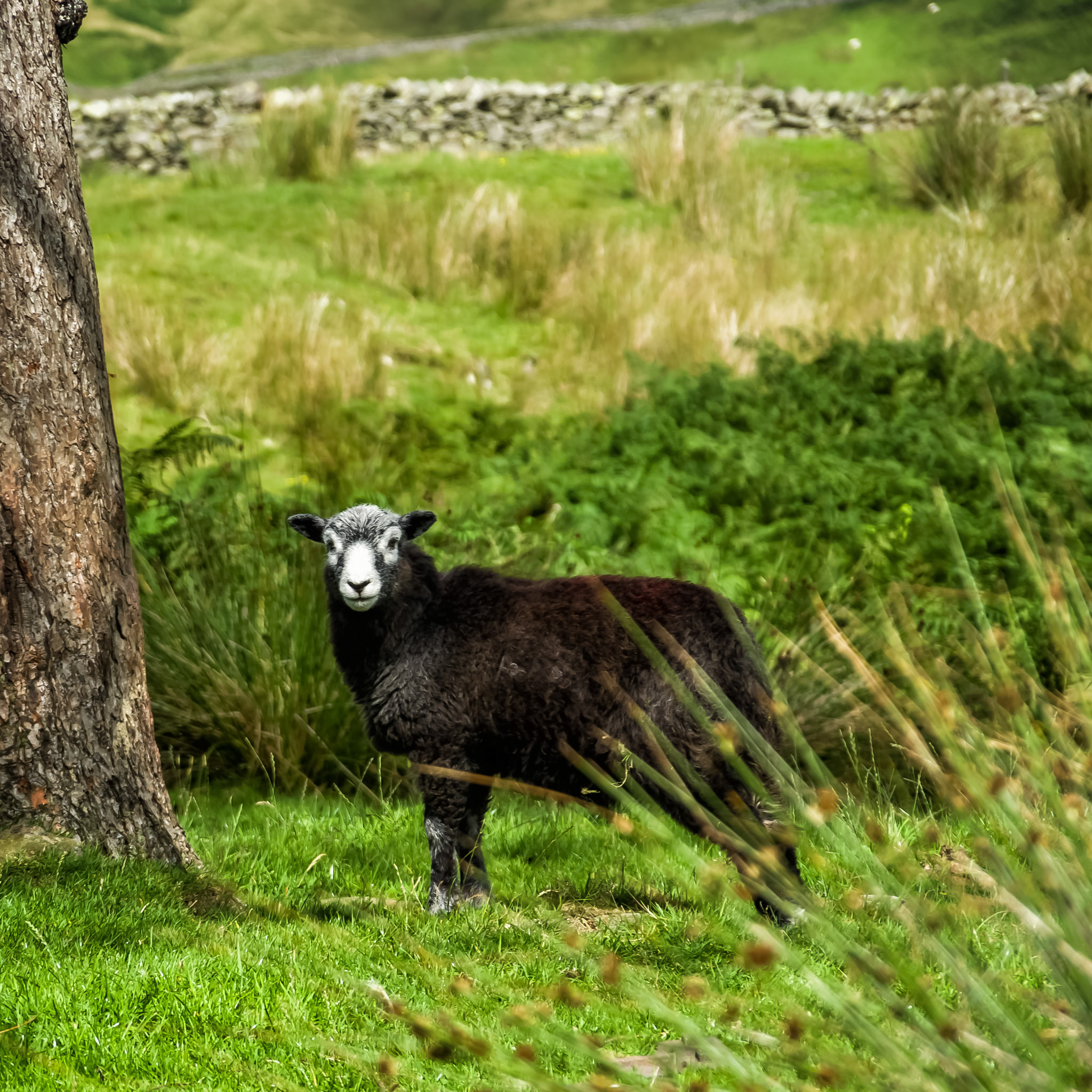 "Attention! A Herdwick ewe along ""The Struggle"", Lake District, England"