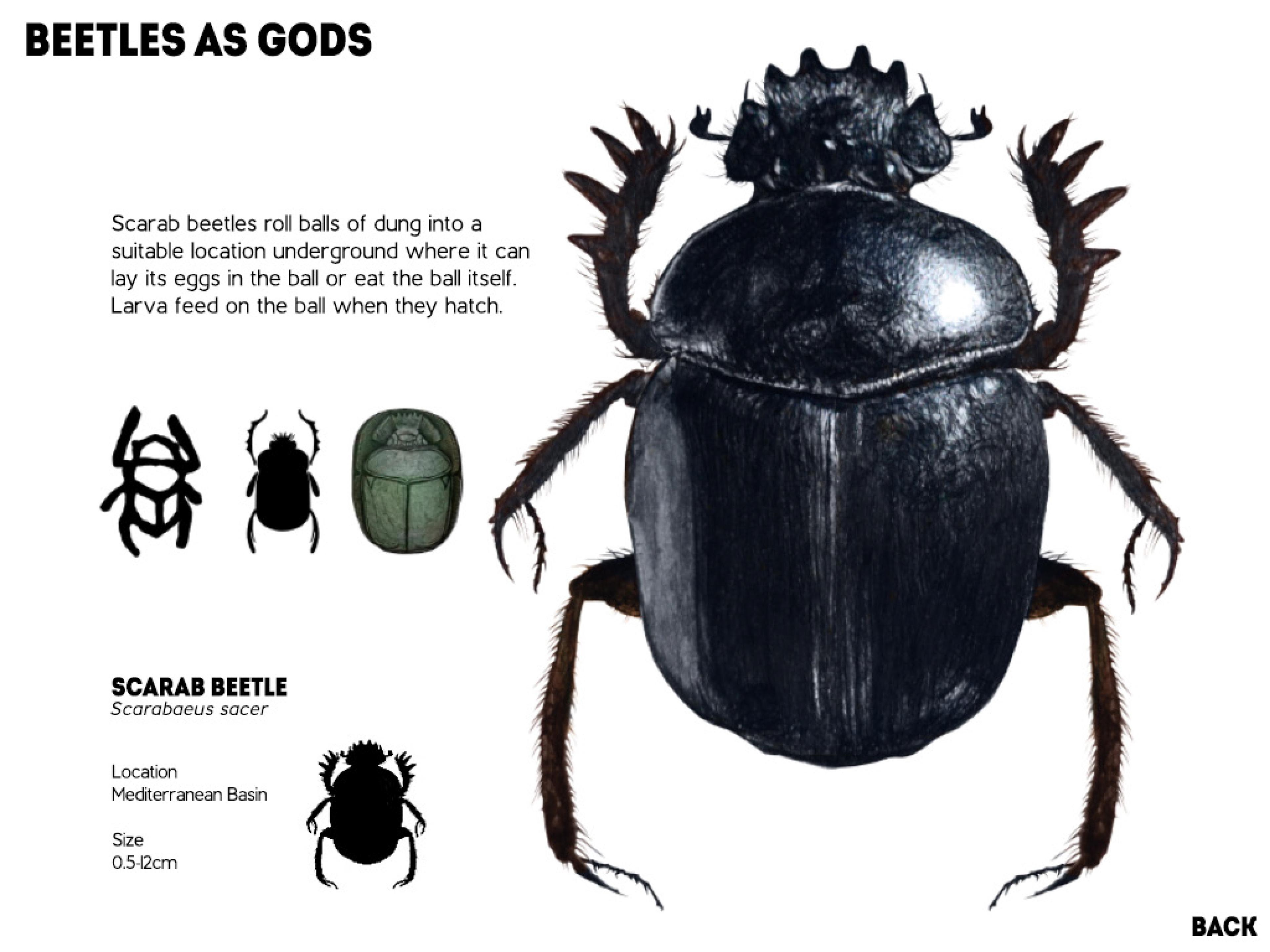 Hercules beetle anatomy