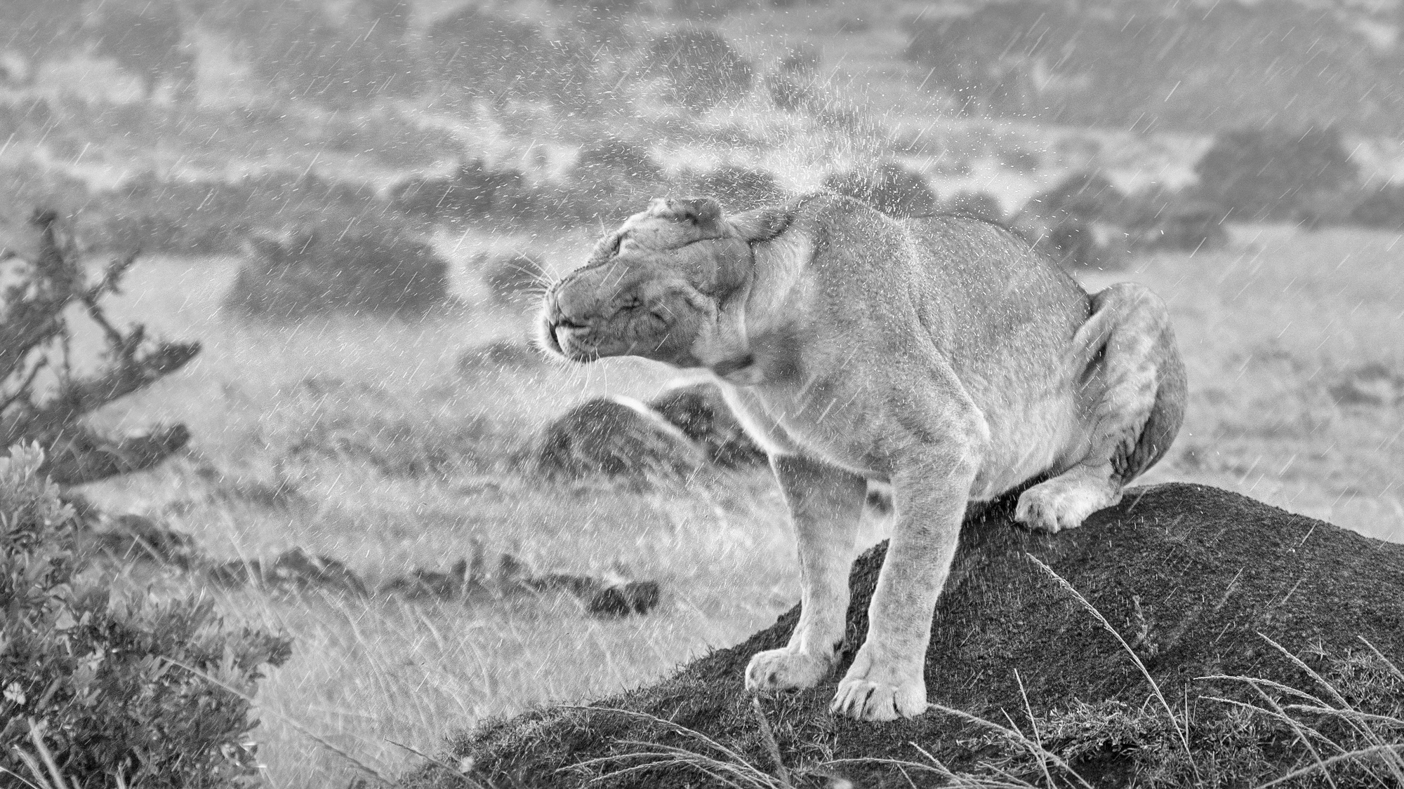 A lioness shaking of the rain.