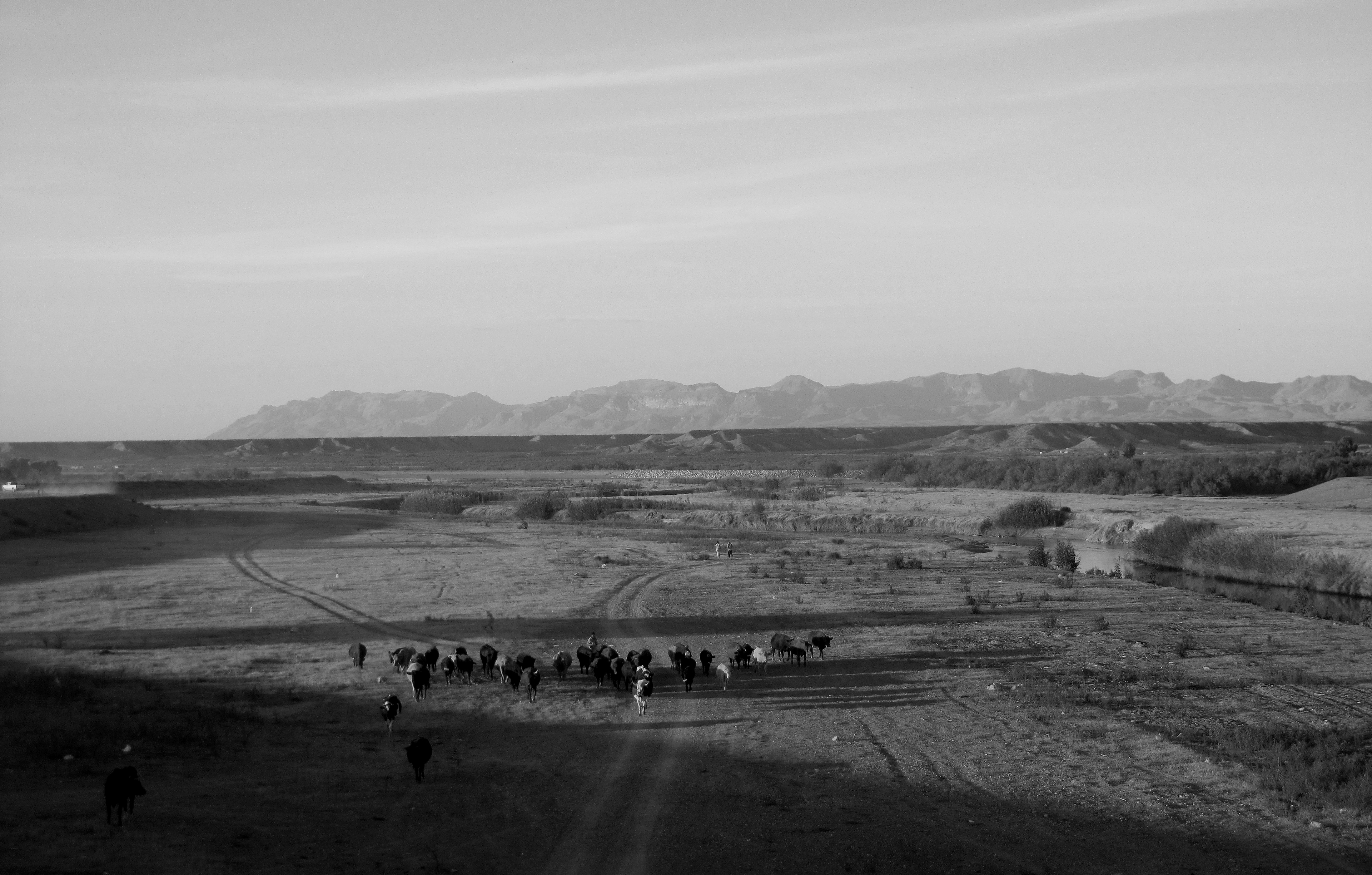 A herd of cows moving across a desert landscape