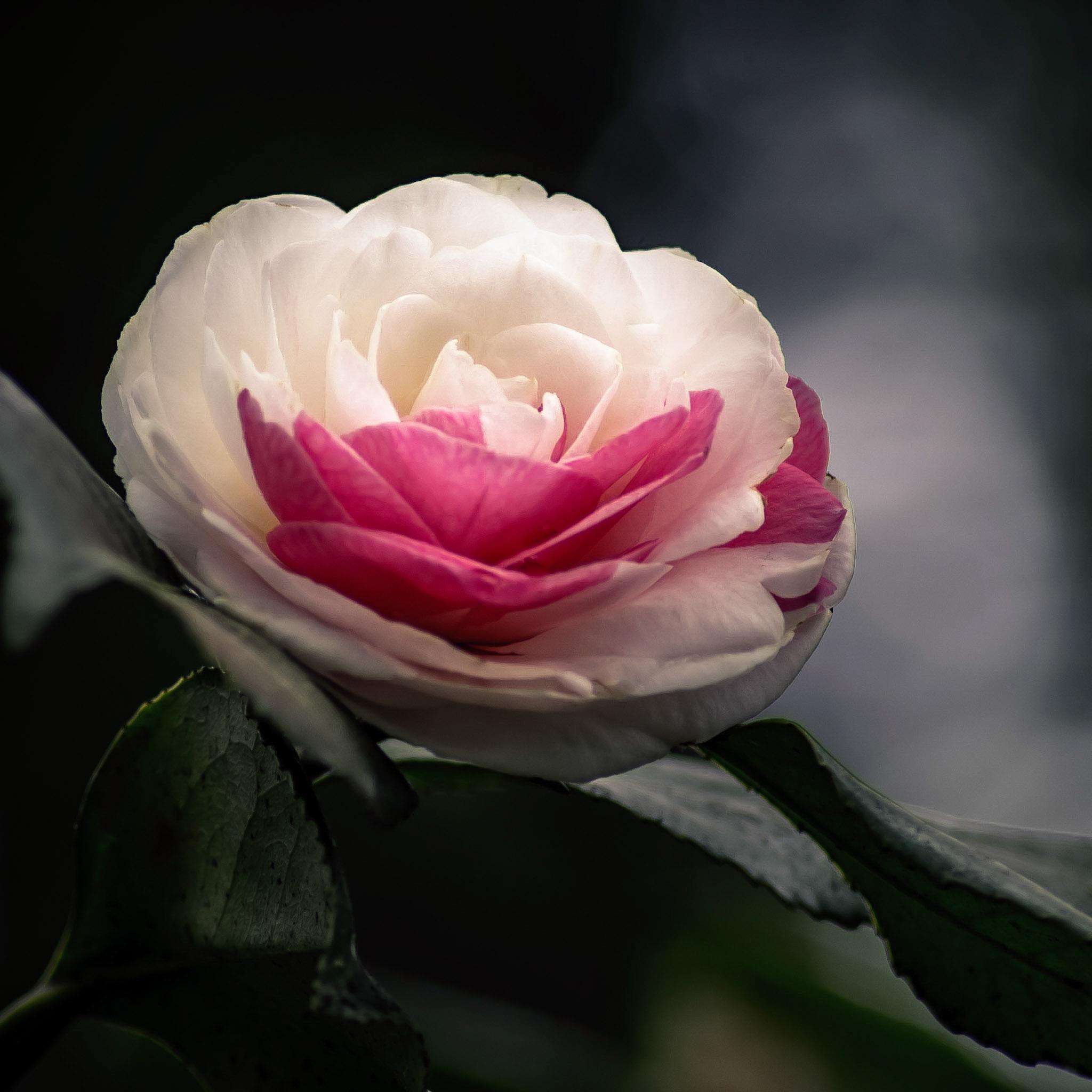 Peppermint Camellia