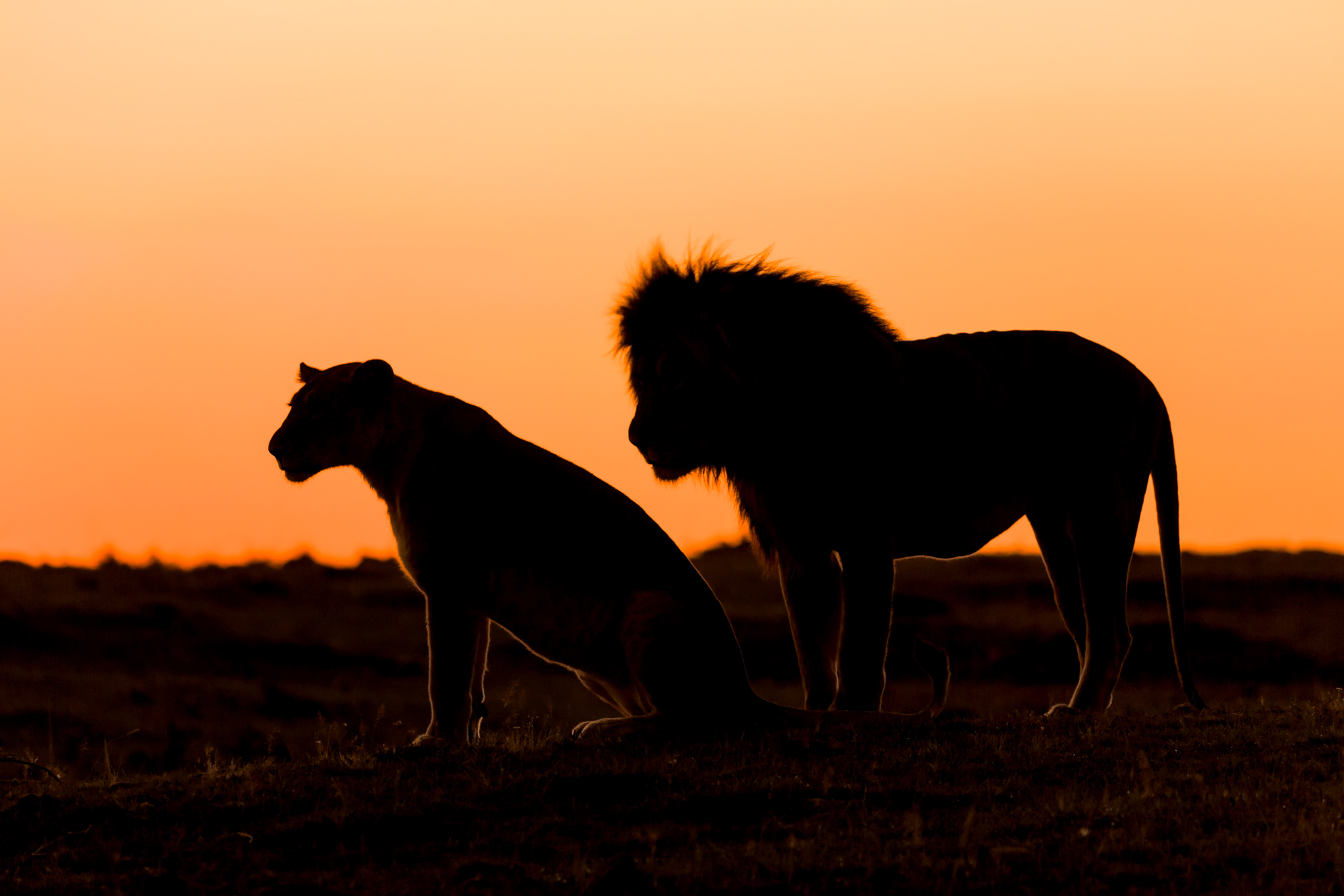 A par of lions photographed in the early light of dawn.