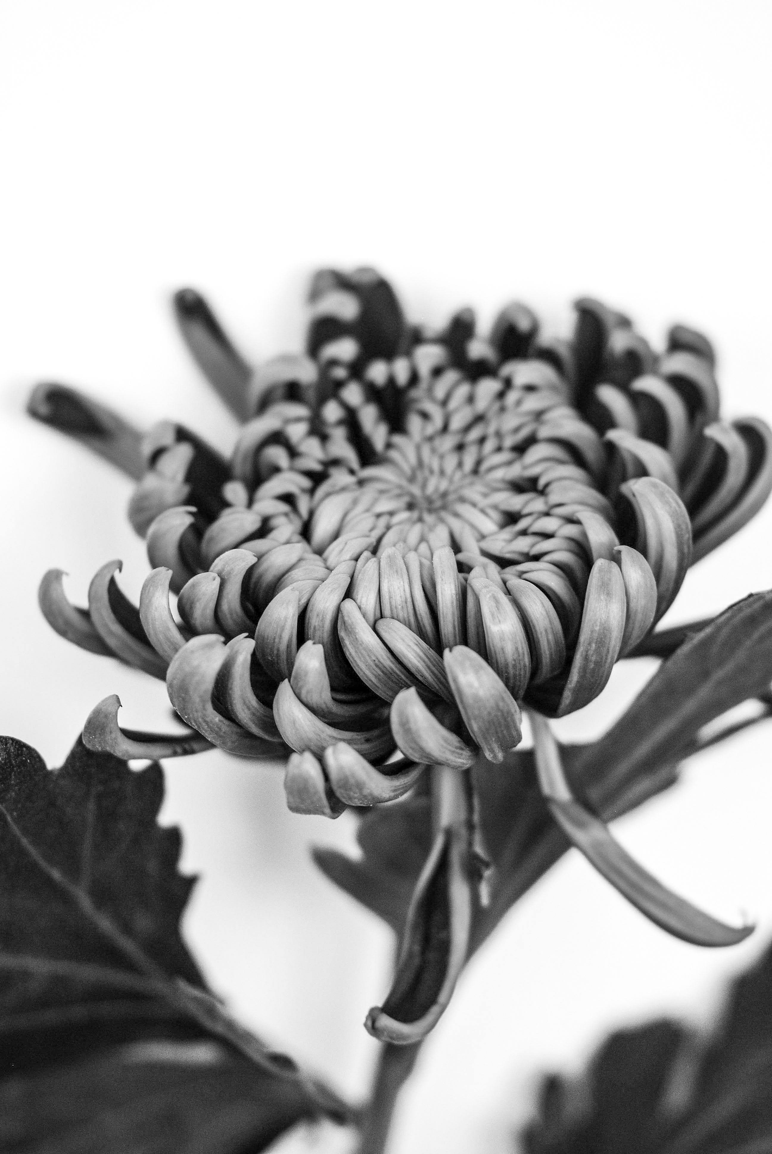 Ellie Bannister Photography Black White Flowers