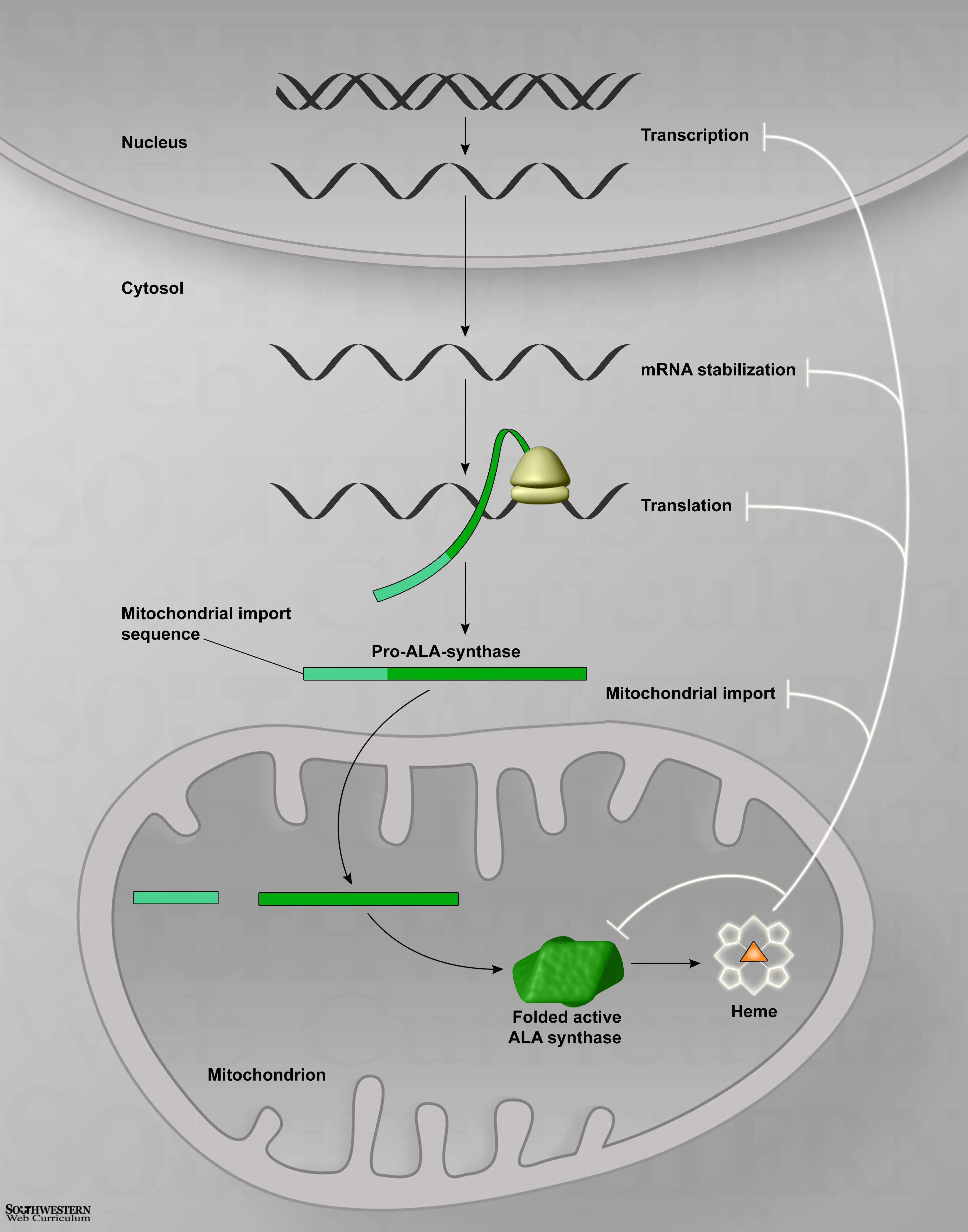 Corbyn Beach Iron And Heme Biochemistry Diagrams