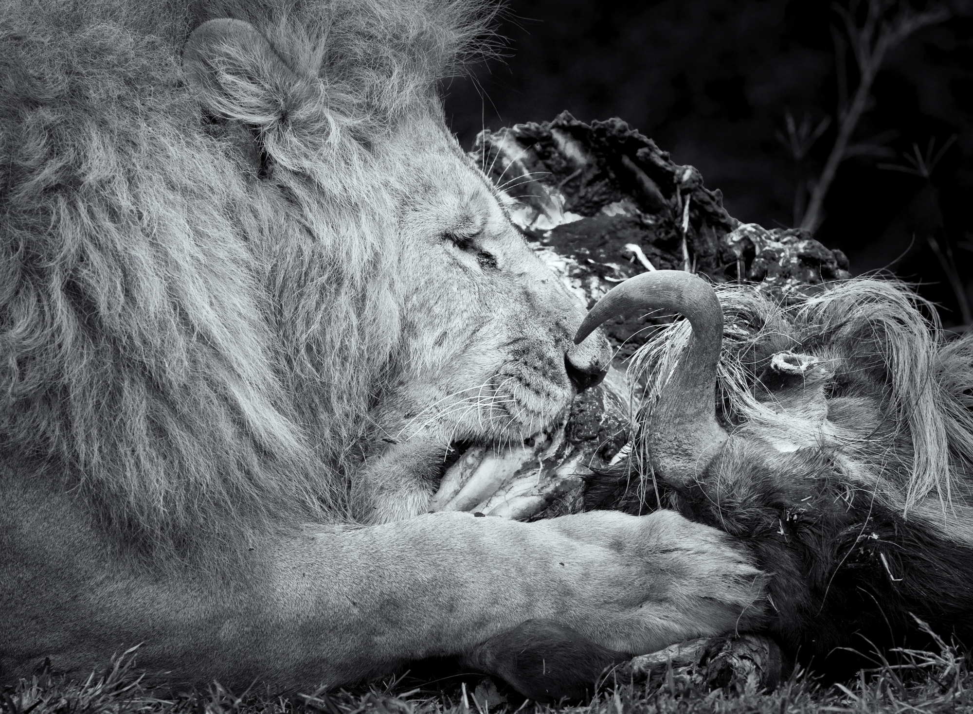 A large male lion feeding on a wildebeest