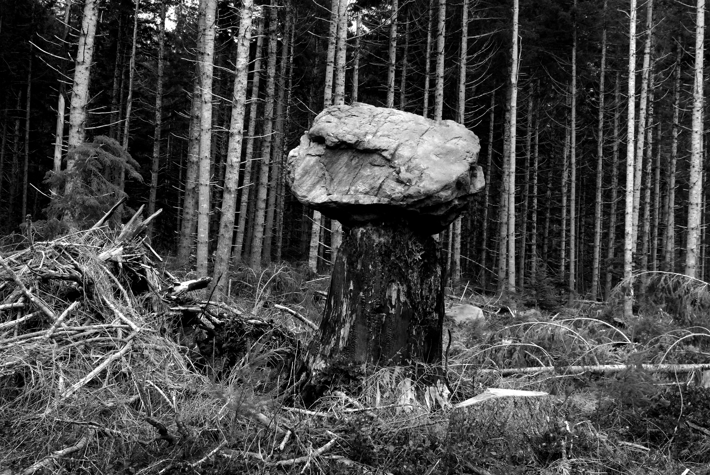 A tree stump with a large rock on top of it surrounded by tree branches and needleless tree trunks