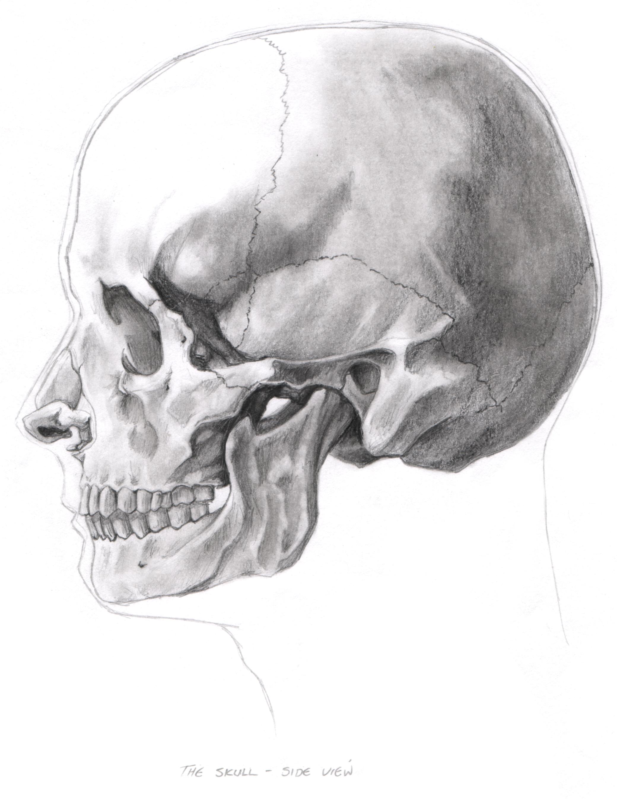 Danielle Kerr - Facial Anatomy Studies