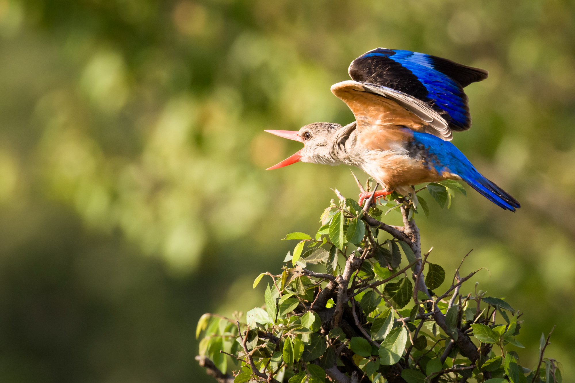 A kingfisher calling out to another bird and flapping its wings