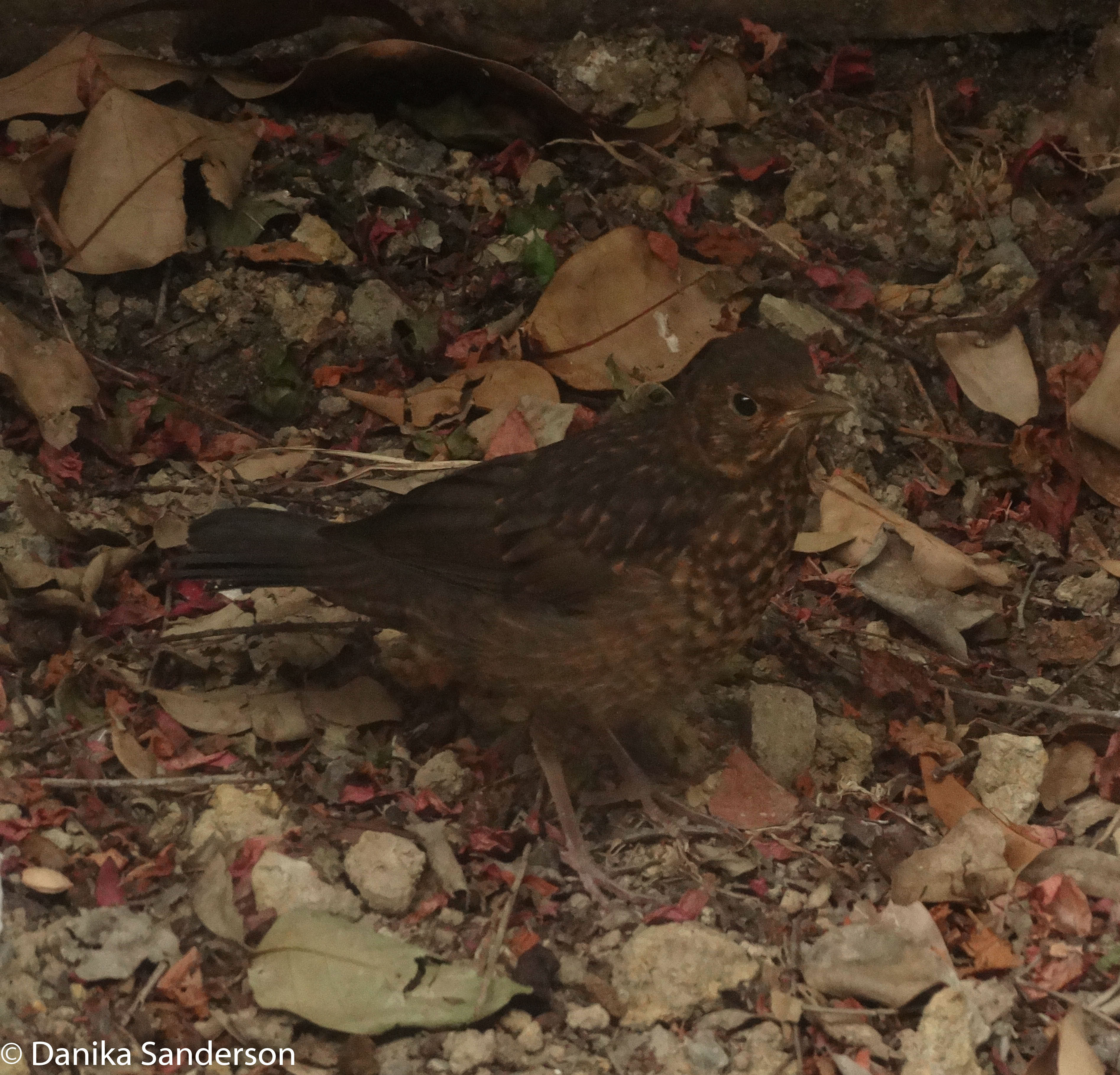 The feathers of the baby Blackbird are still growing creating the speckled appearance and shorter tail