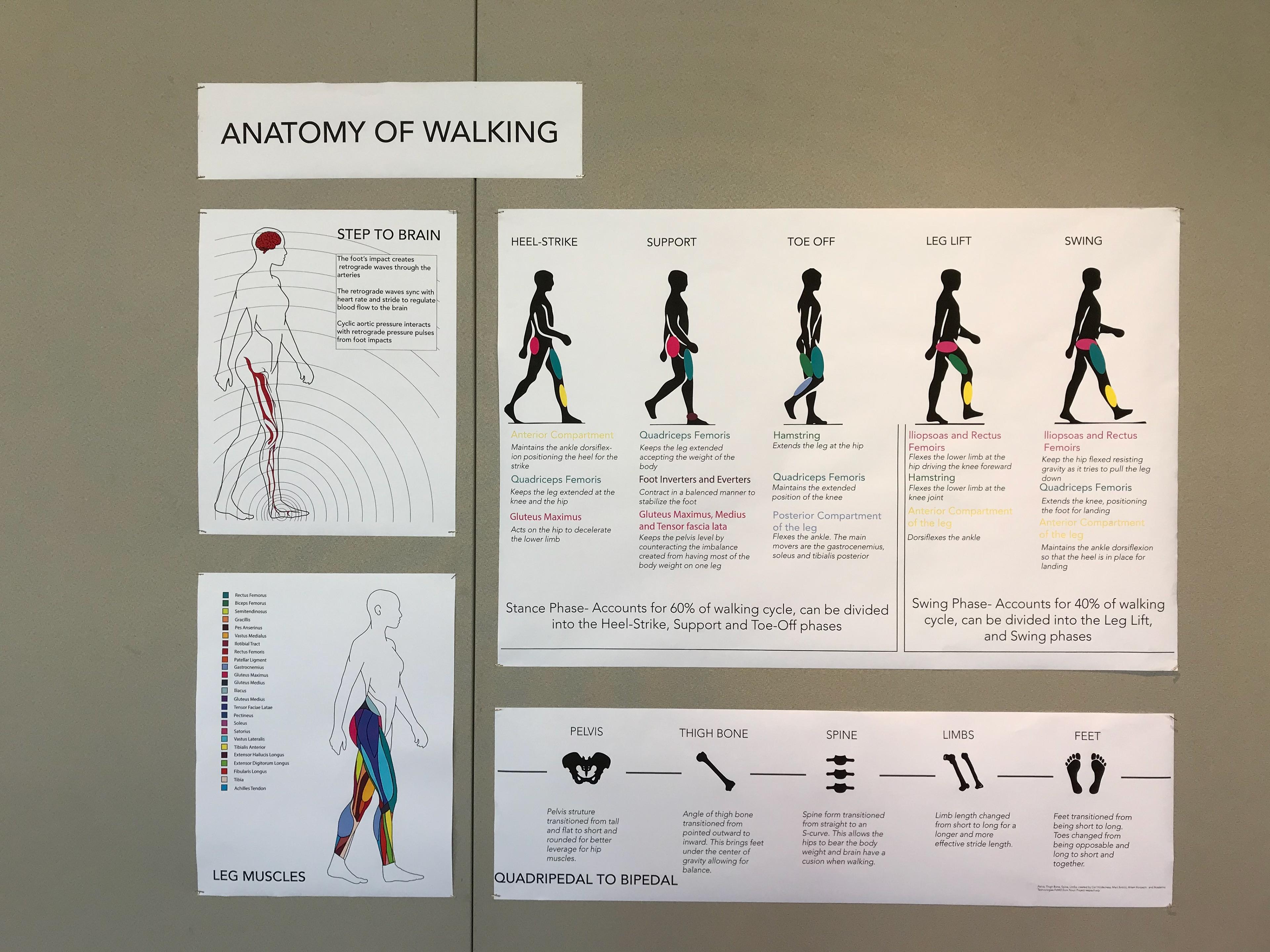 ANATOMY OF WALKING on Behance