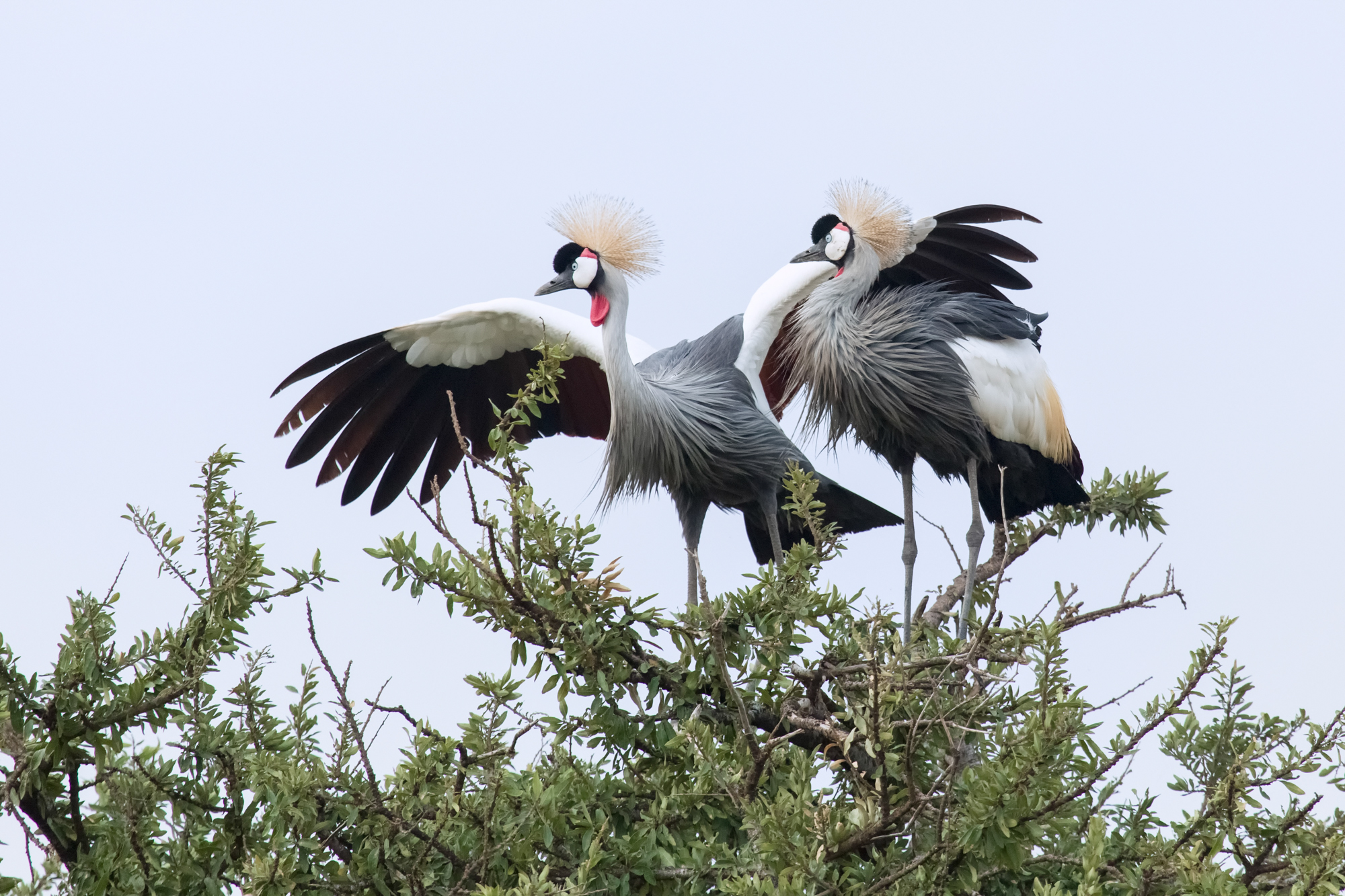 Pair of Grey Crested Cranes standing in the branches of a tree