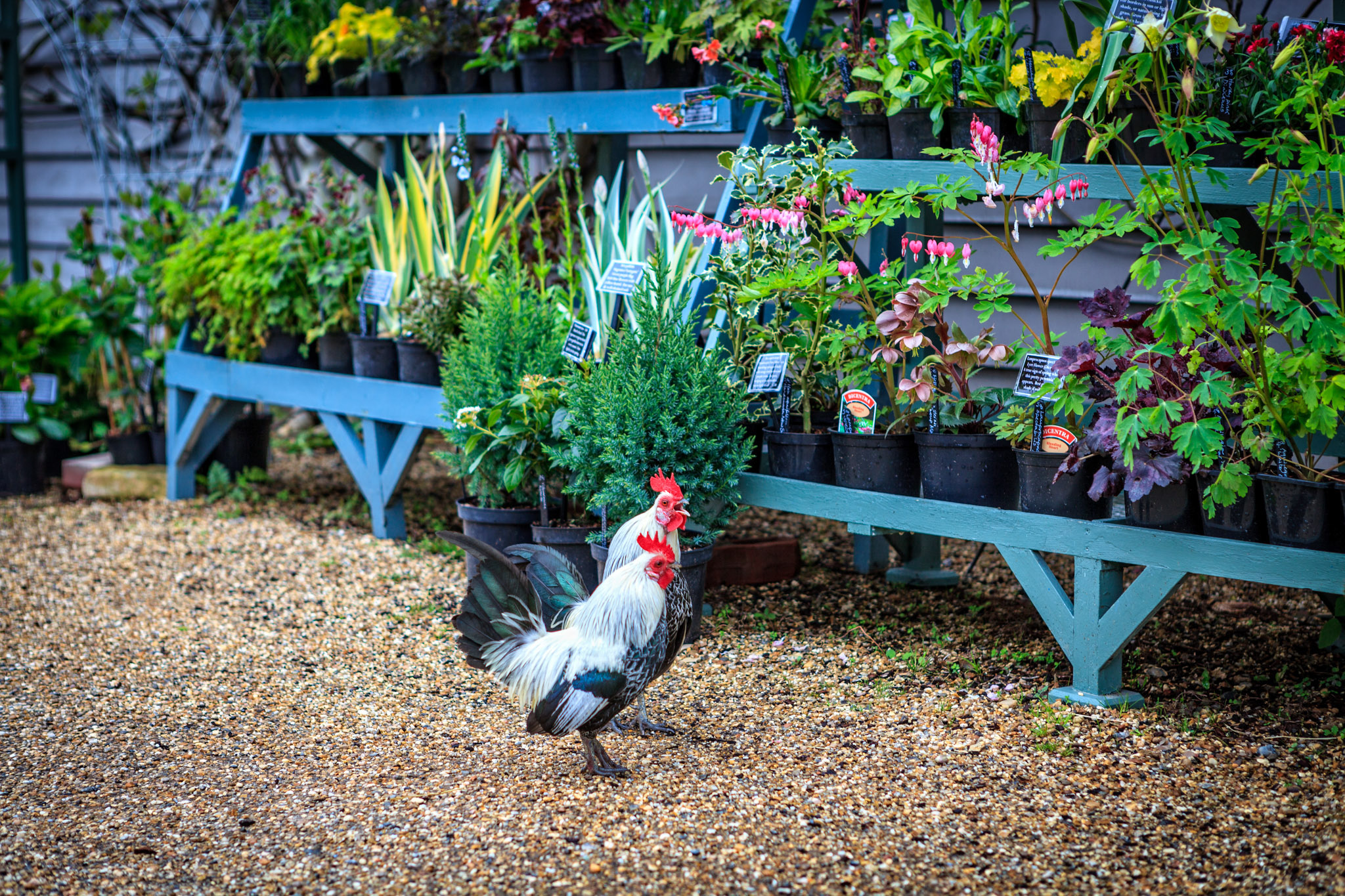 Two roosters in front of flower display