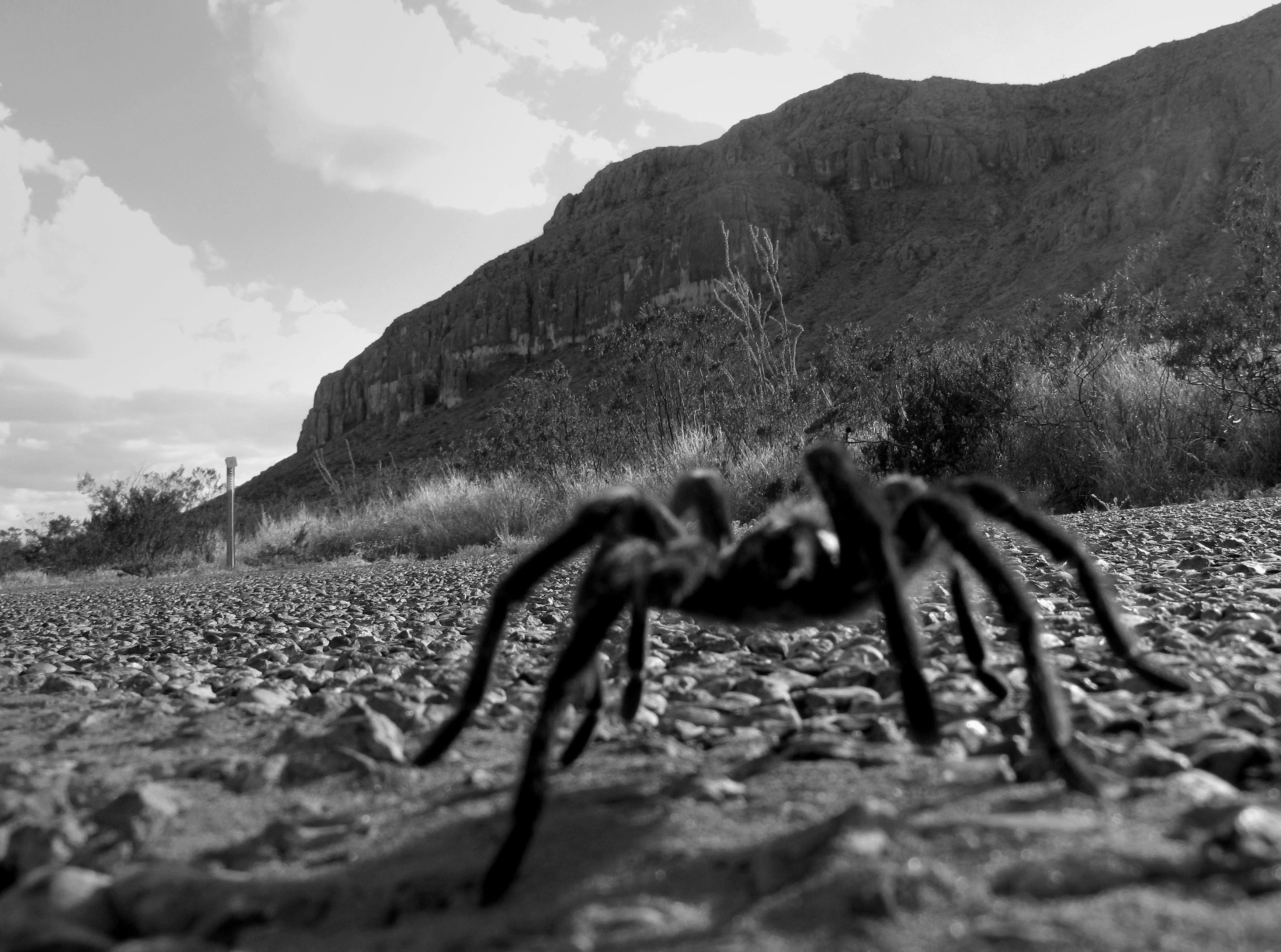 A close up of a tarantula on a road in the desert