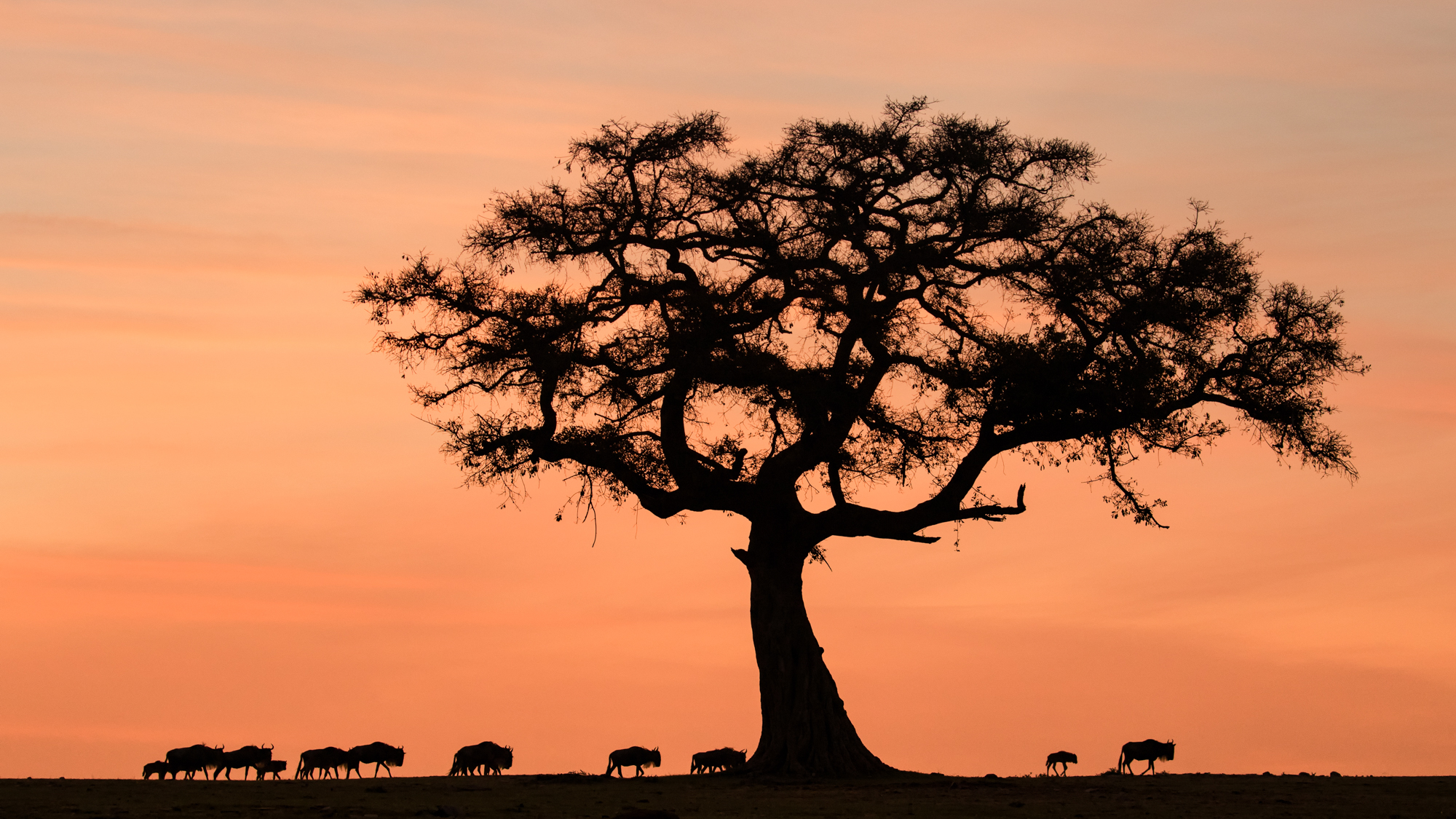 Silhouette of a tree and wildebeest in the dawn light.