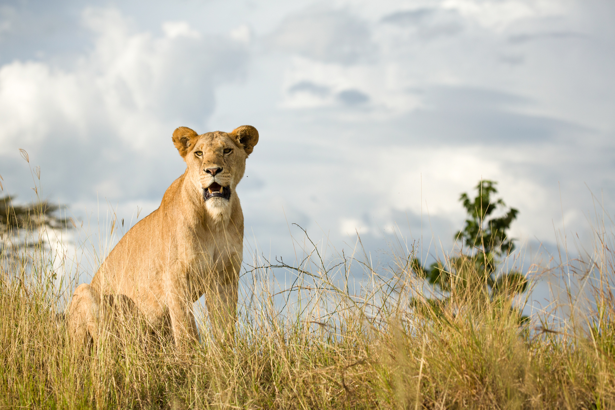 A lioness sitting on a hill in the Masai Mara