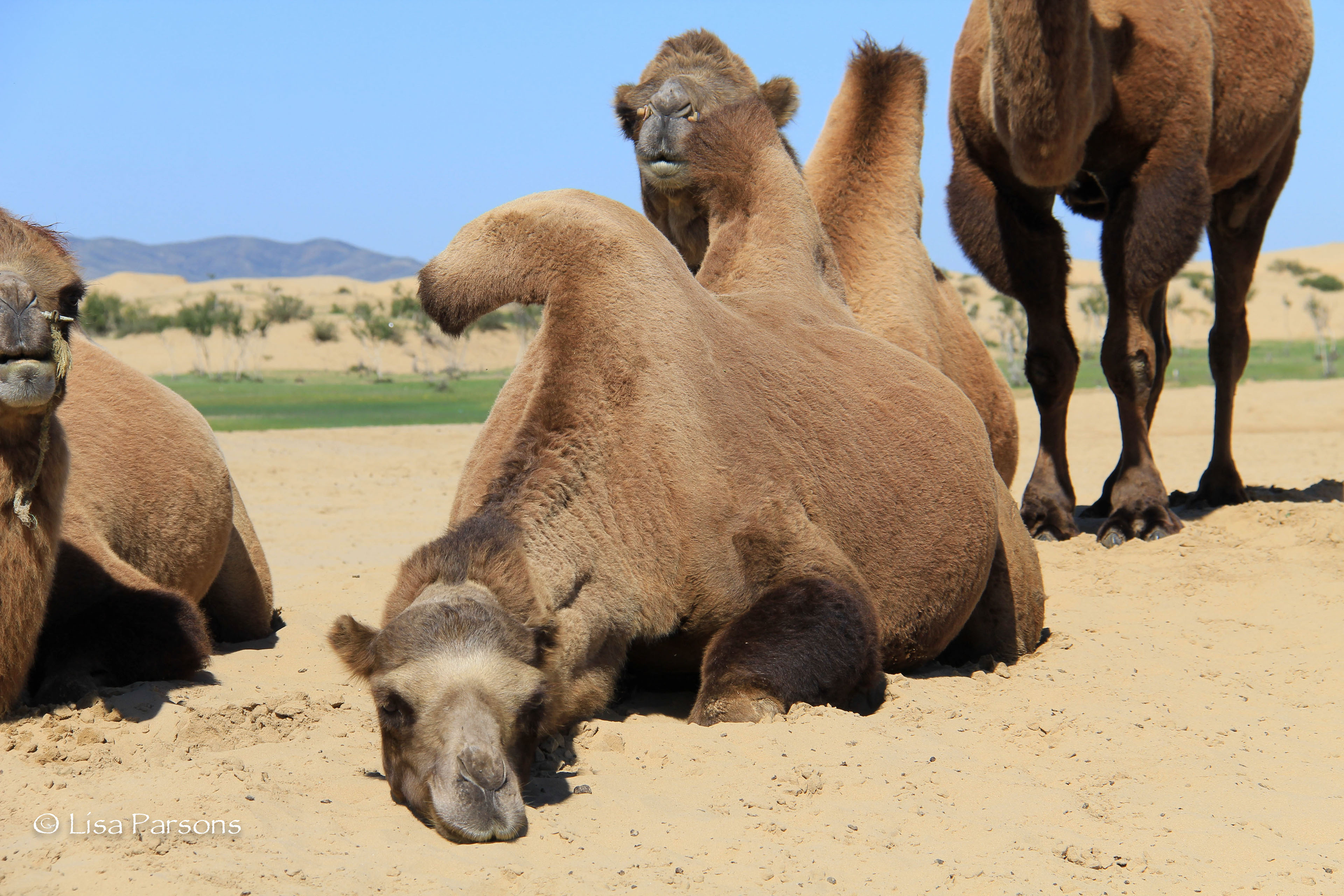 a look at two humped bactrian camel of central asia Camels are mammals with long legs, a big-lipped snout and a humped back there are two types of camels: dromedary camels, which have one hump, and bactrian camels, which have two humps camels' humps consist of stored fat, which they can metabolize when food and water is scarce in addition to their.