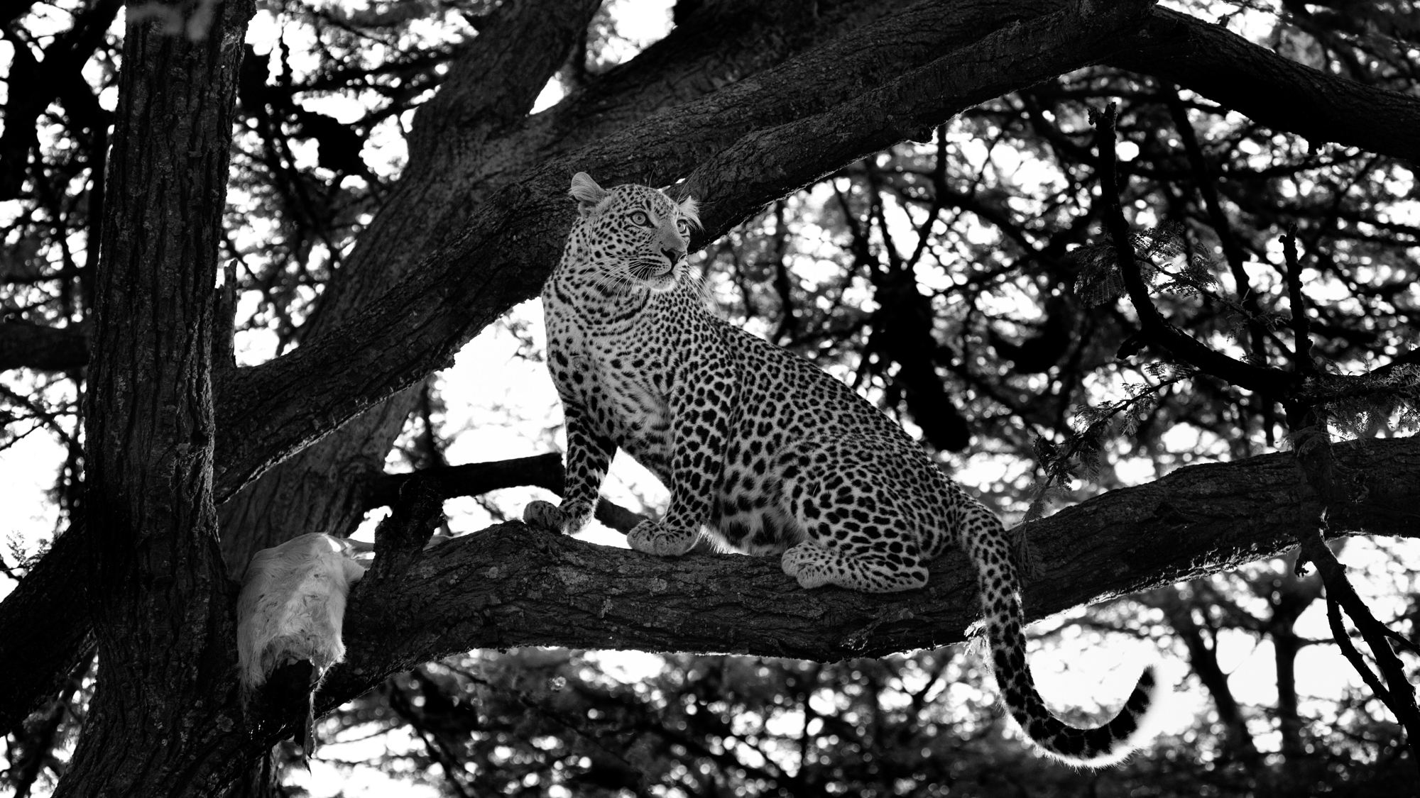 A leopard in a tree guarding the carcass of an Impala