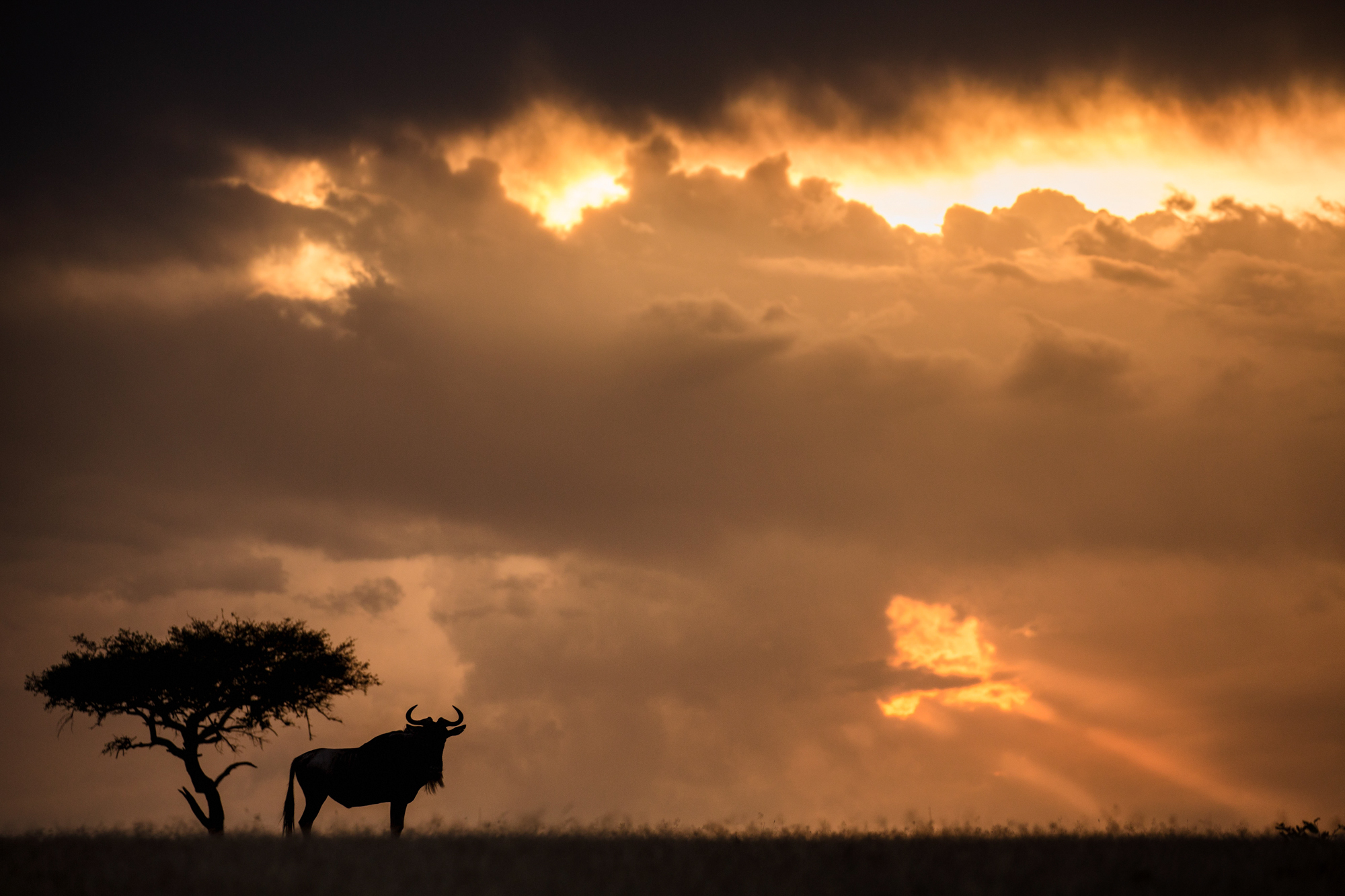 Silhouette of a ;one wildebeest set against a stormy sky at sunset