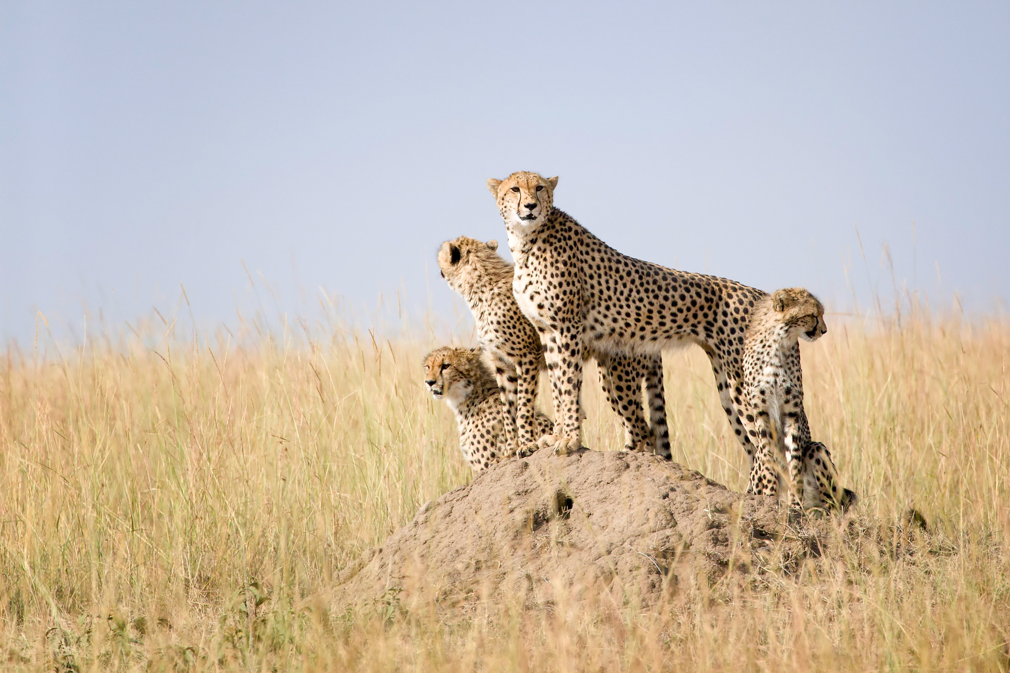 Family of cheetahs using a termite hill to look out over the Maasai Mara plains