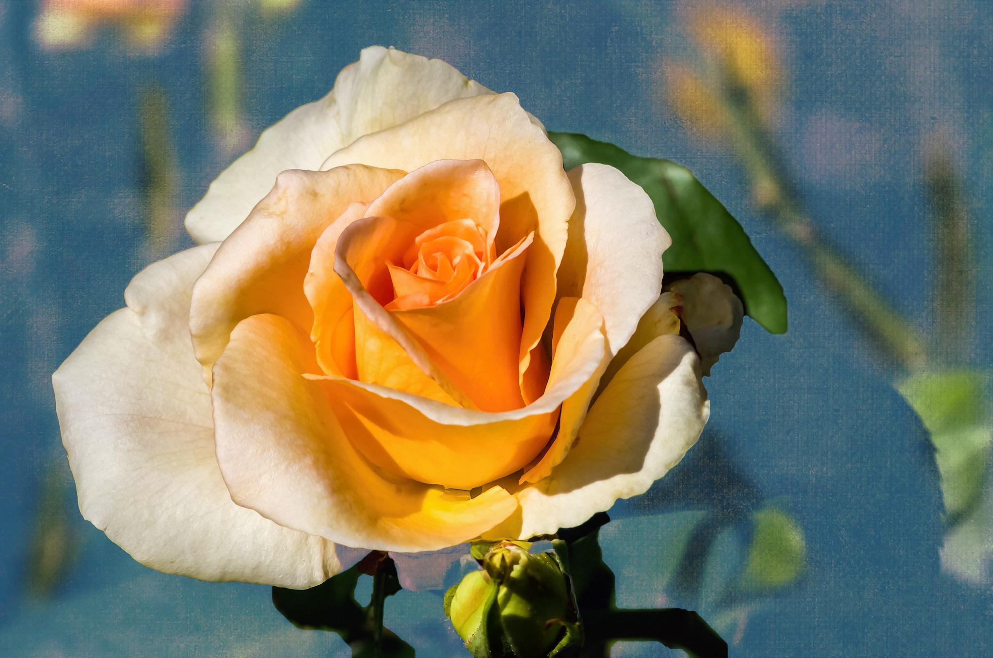 Rose sur Bleu