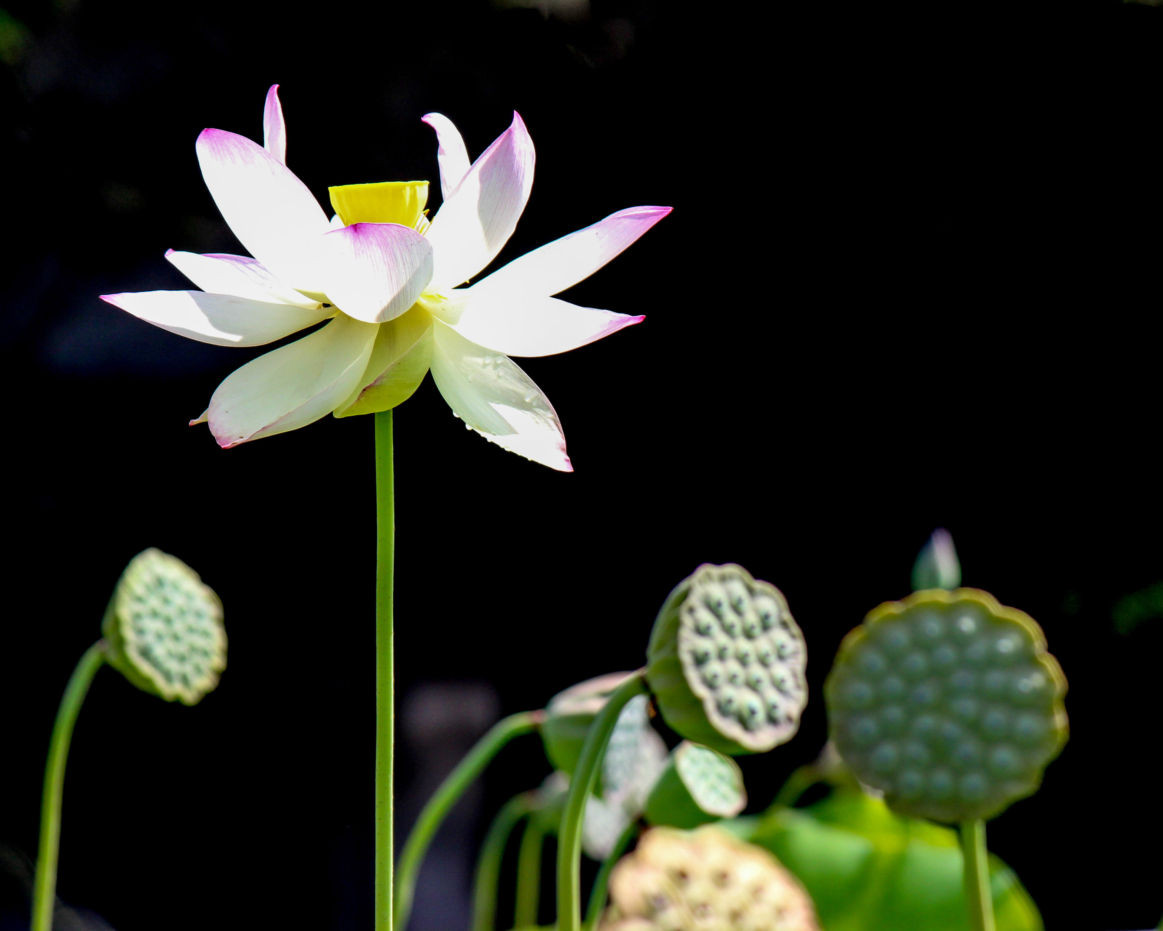 Leah W Meulemans Photography The Lotus Flower