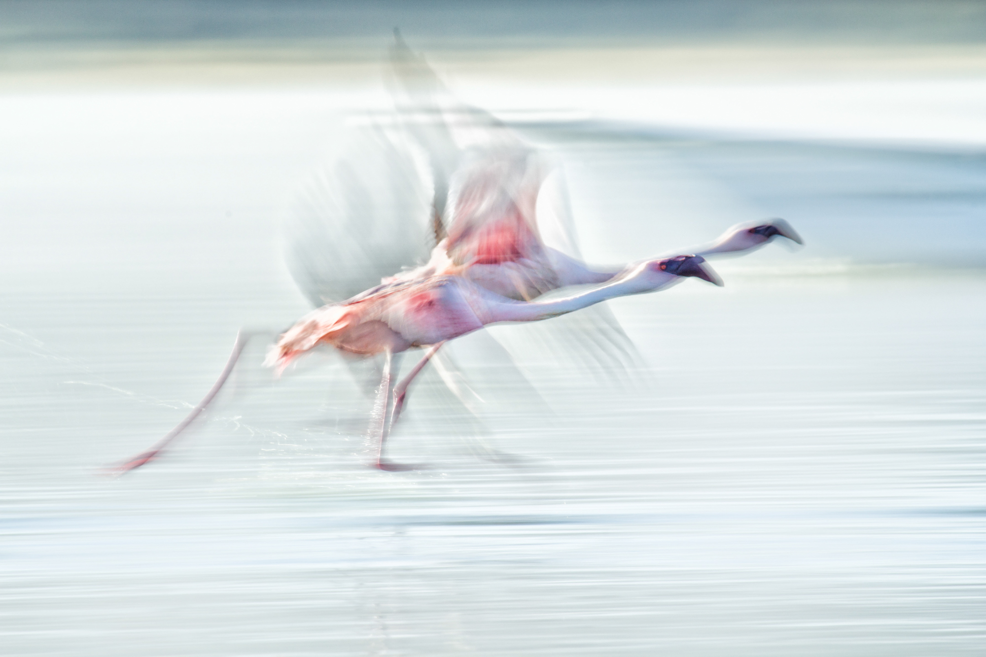 A slow panning shot of a pair of pink flamingoes running across the water  to take flight.