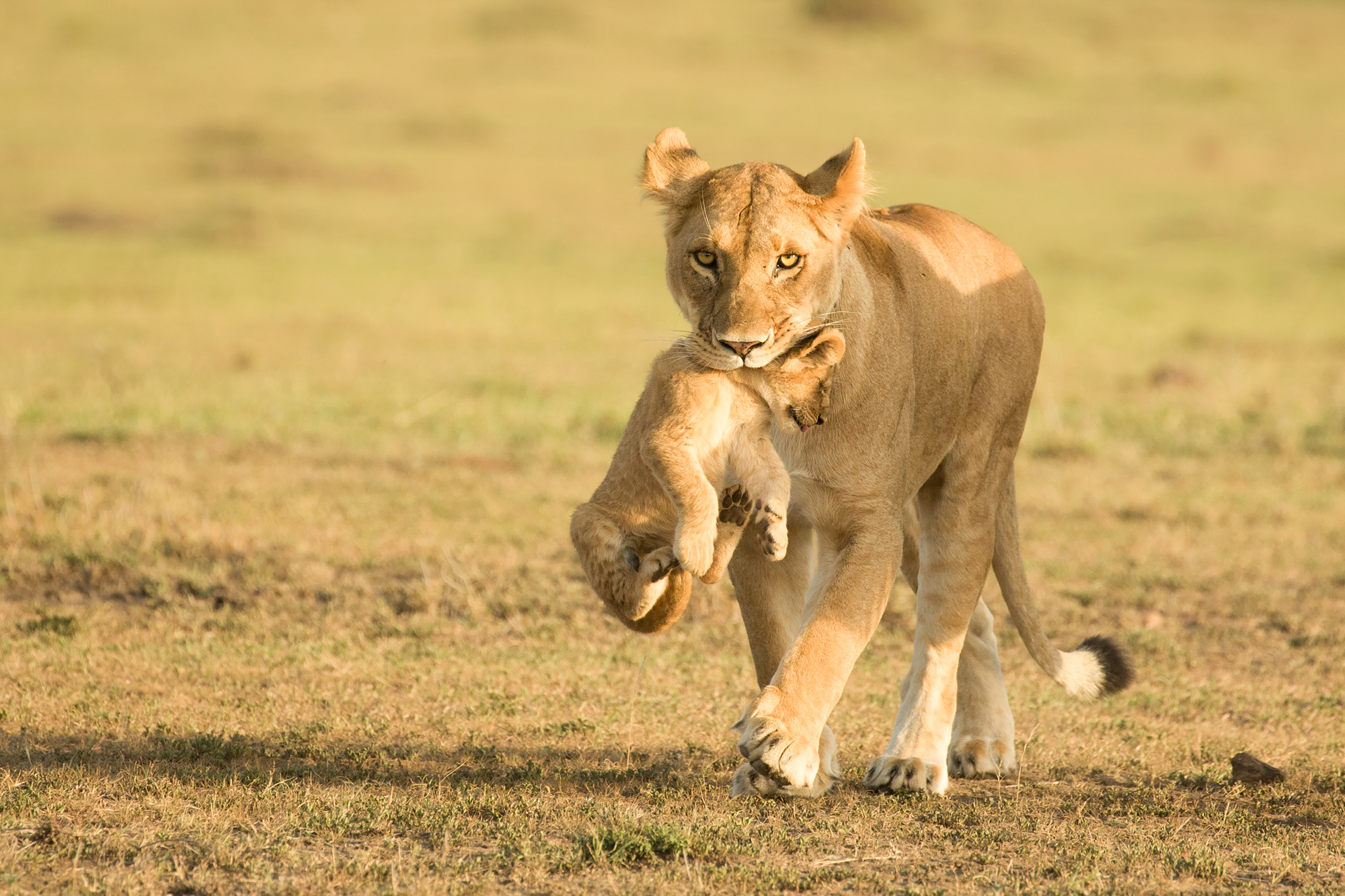 A lioness carrying her young cub