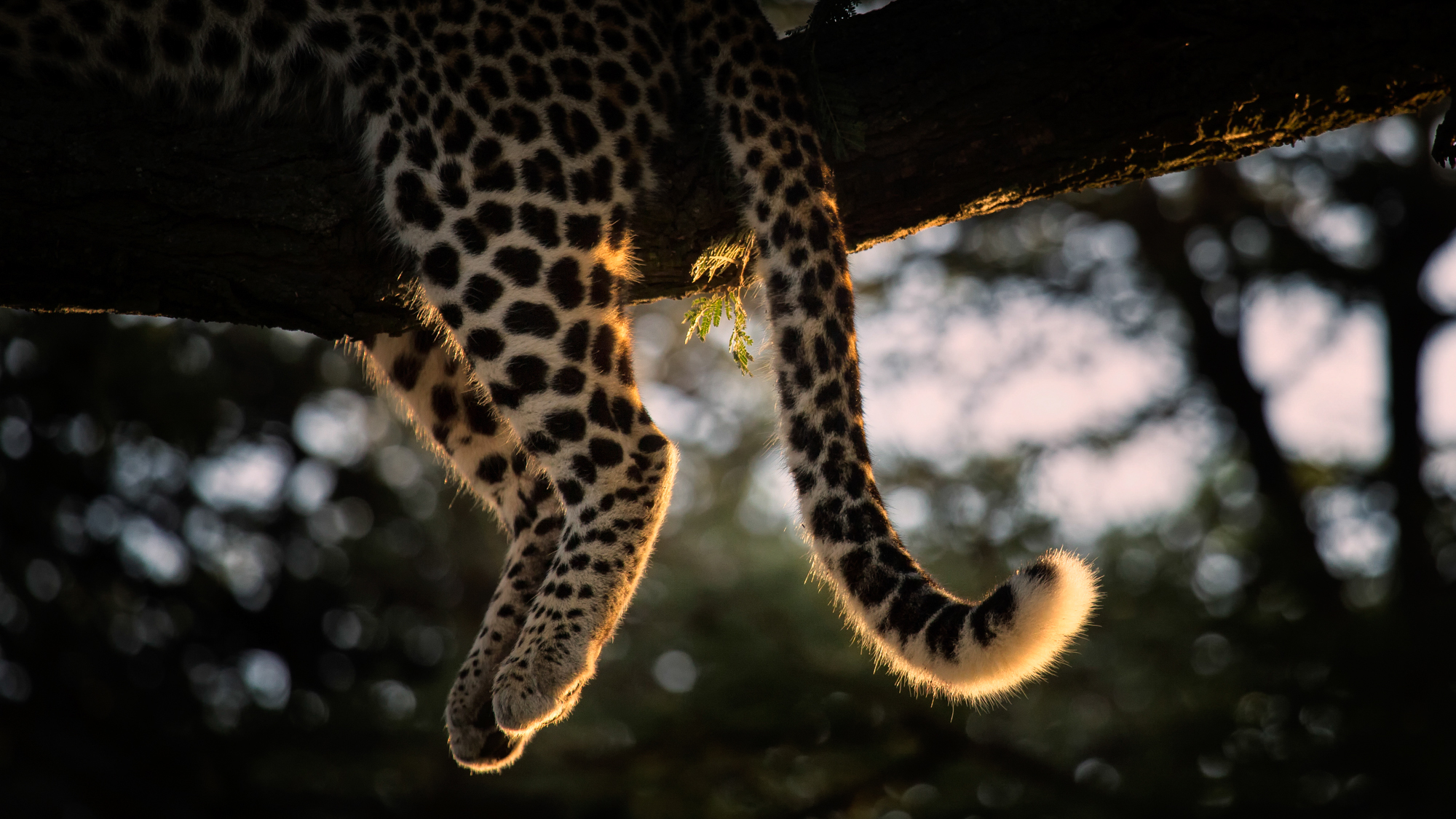 Morning light catches the detail of a resting leopard in the tree