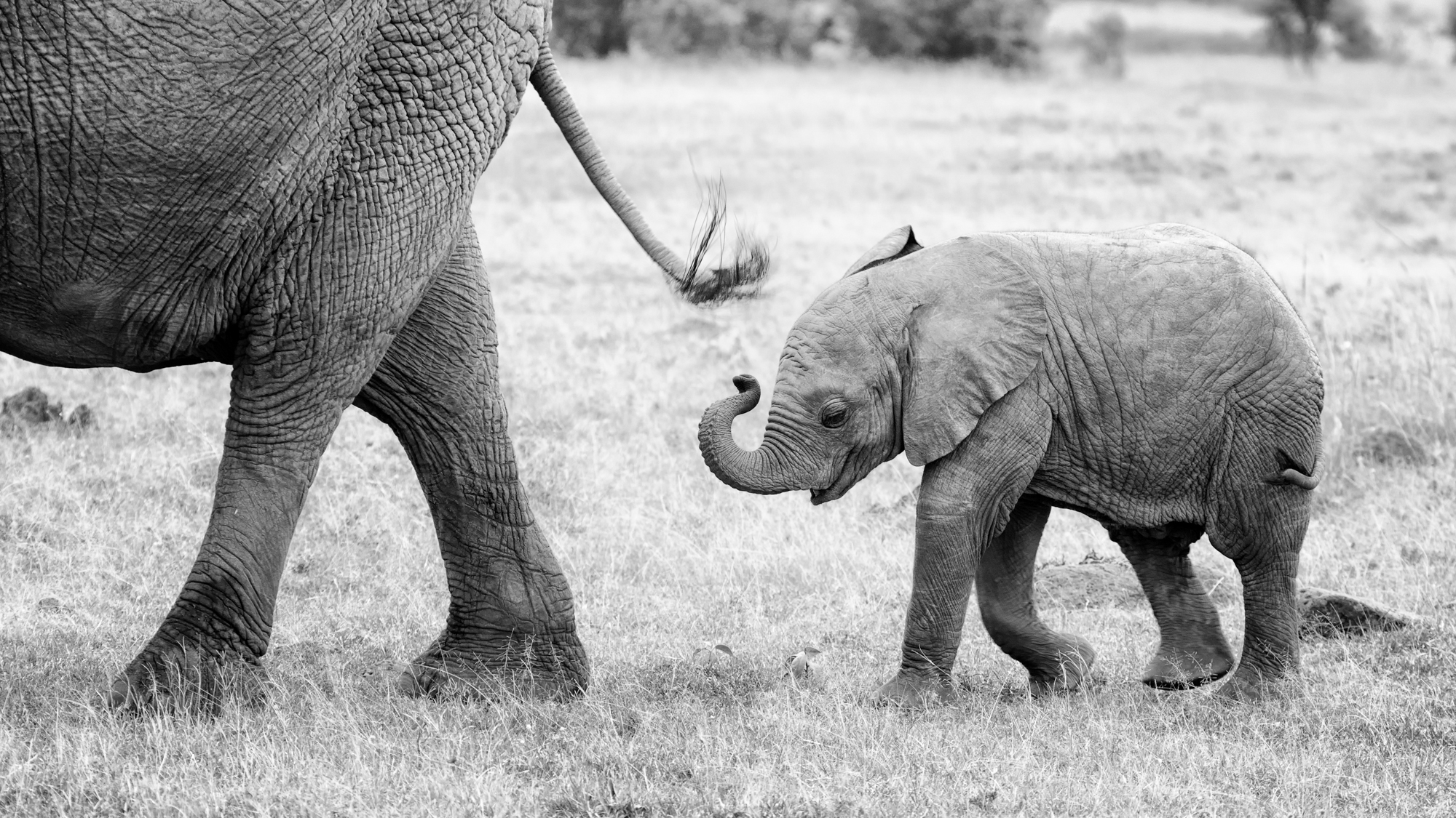 A baby elephant following her mother's tail