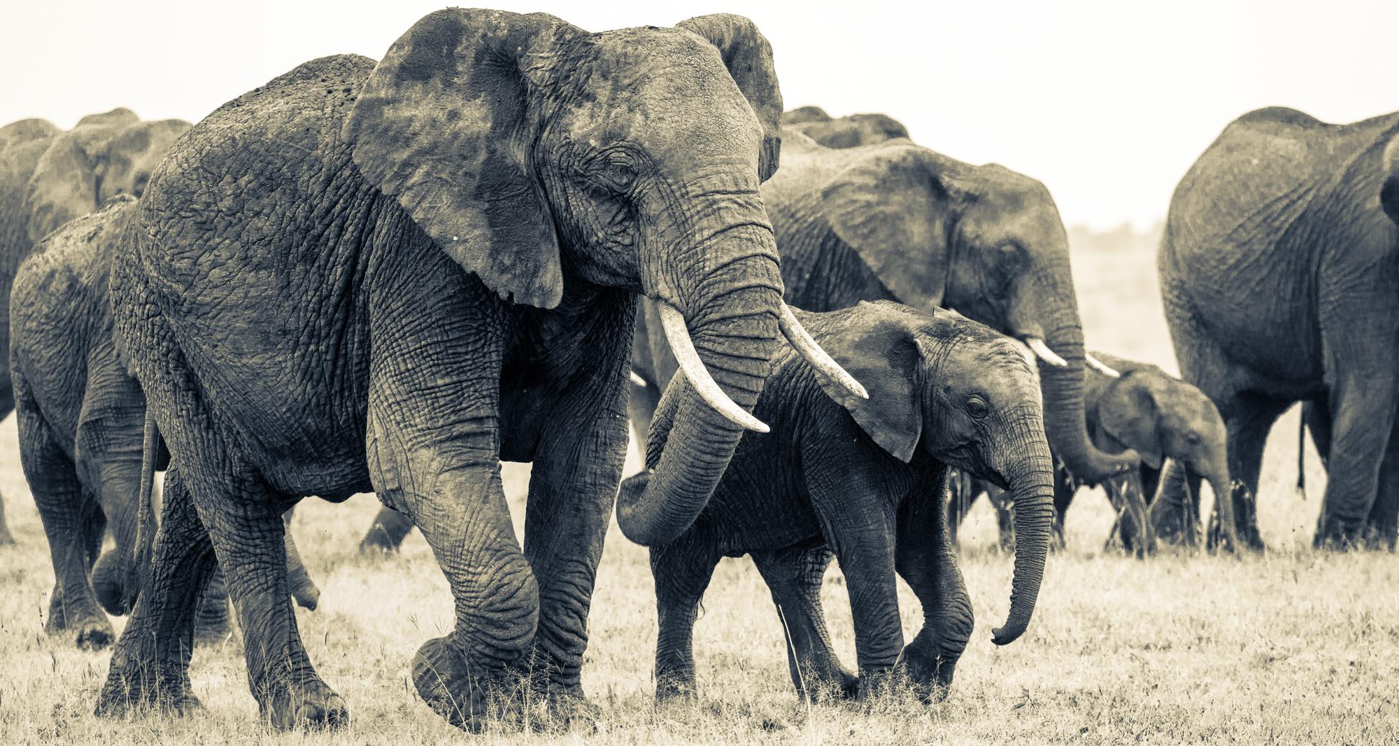 A herd of elephants crossing a grassy plain.