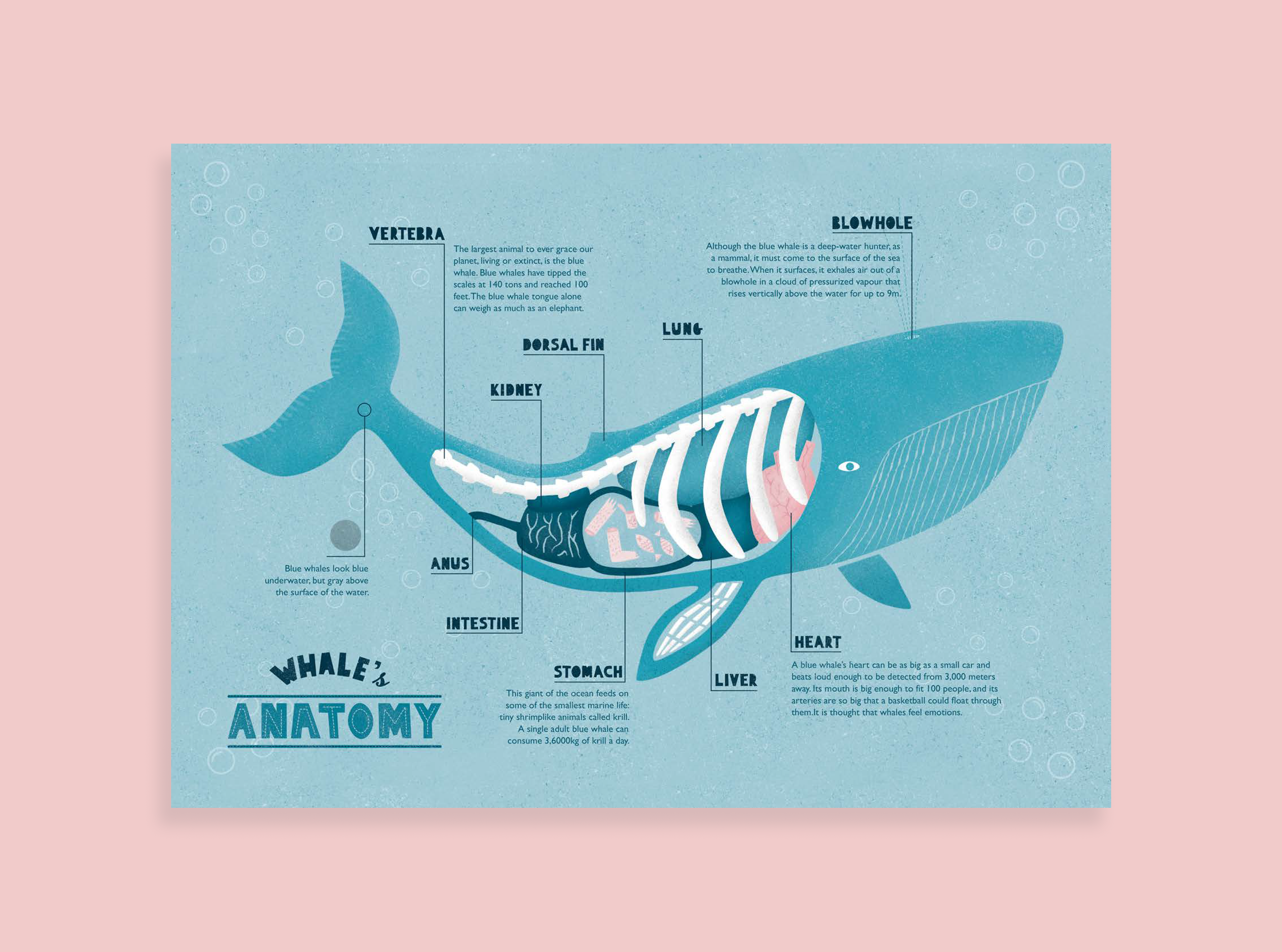 Whales Anatomy Infographic On Behance