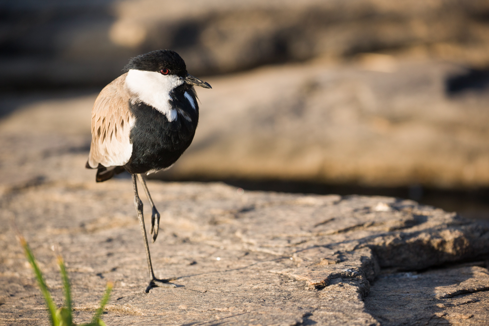 A Plover standing on one leg