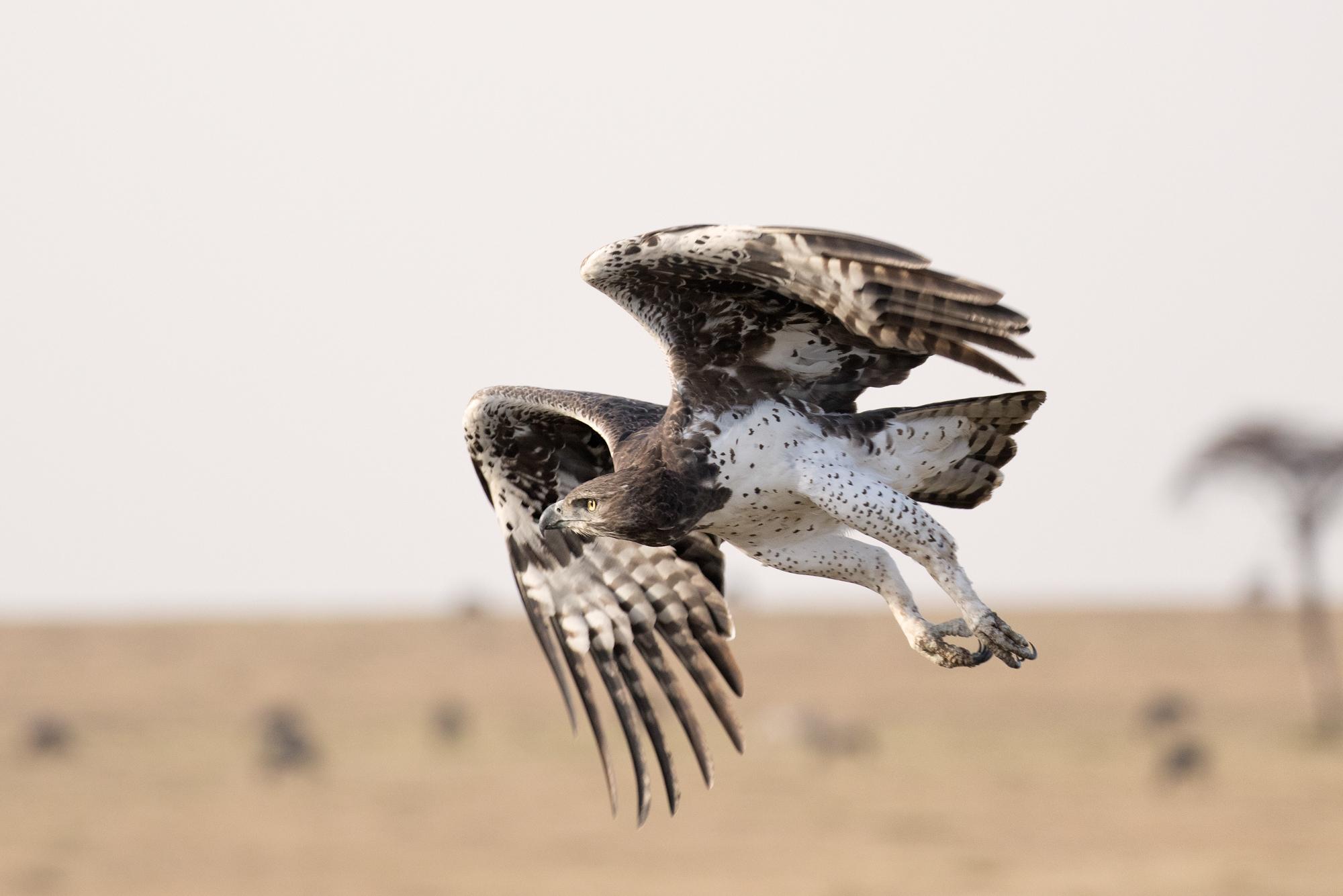 Marshal Eagle in flight.