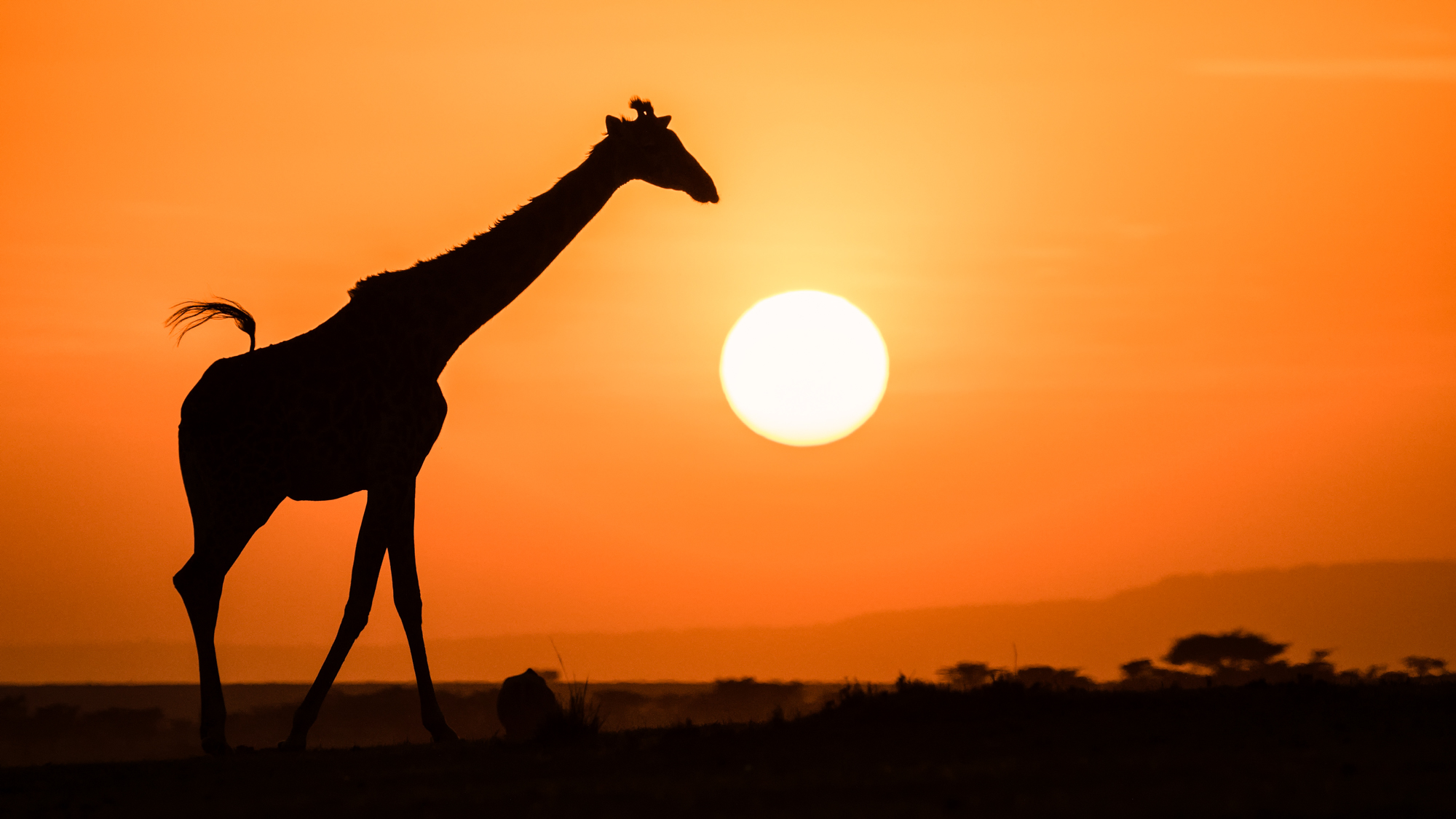 A giraffe silhouetted by the setting sun