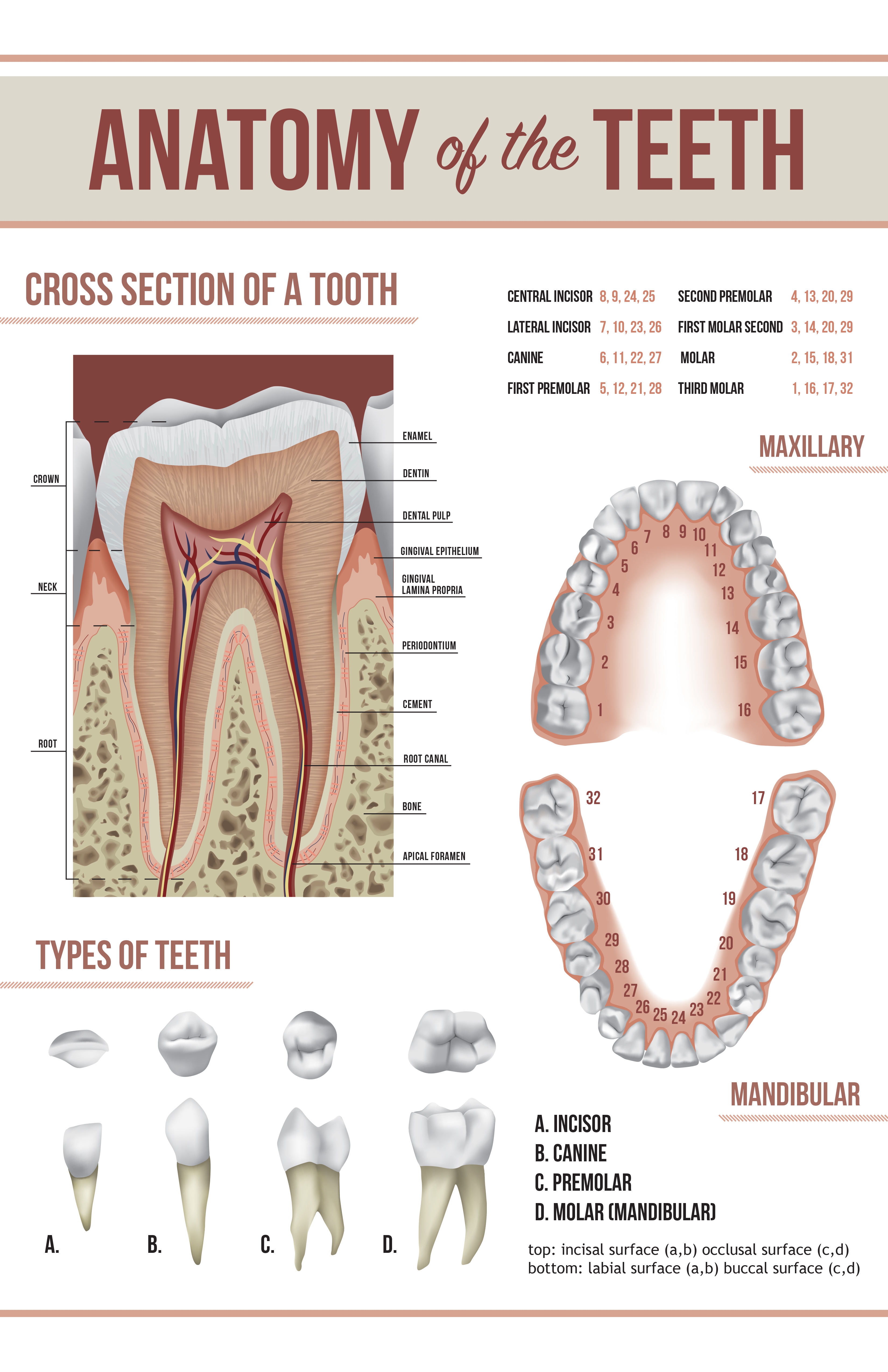 Tooth Anatomy Poster on Behance