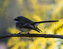 Grey Fantail Greater Bendigo National Park