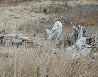 Snowy Owls / Hérons et harfangs des neiges