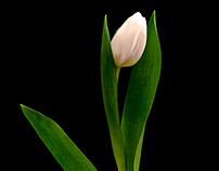 Tulip on black 2