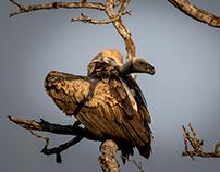 Vultures of Kruger