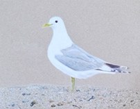 Common Gull colored pencil drawing