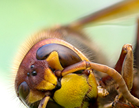 Photo Series: Nature / Case 14: The European Hornet