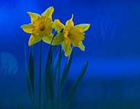 Daffodils (night)